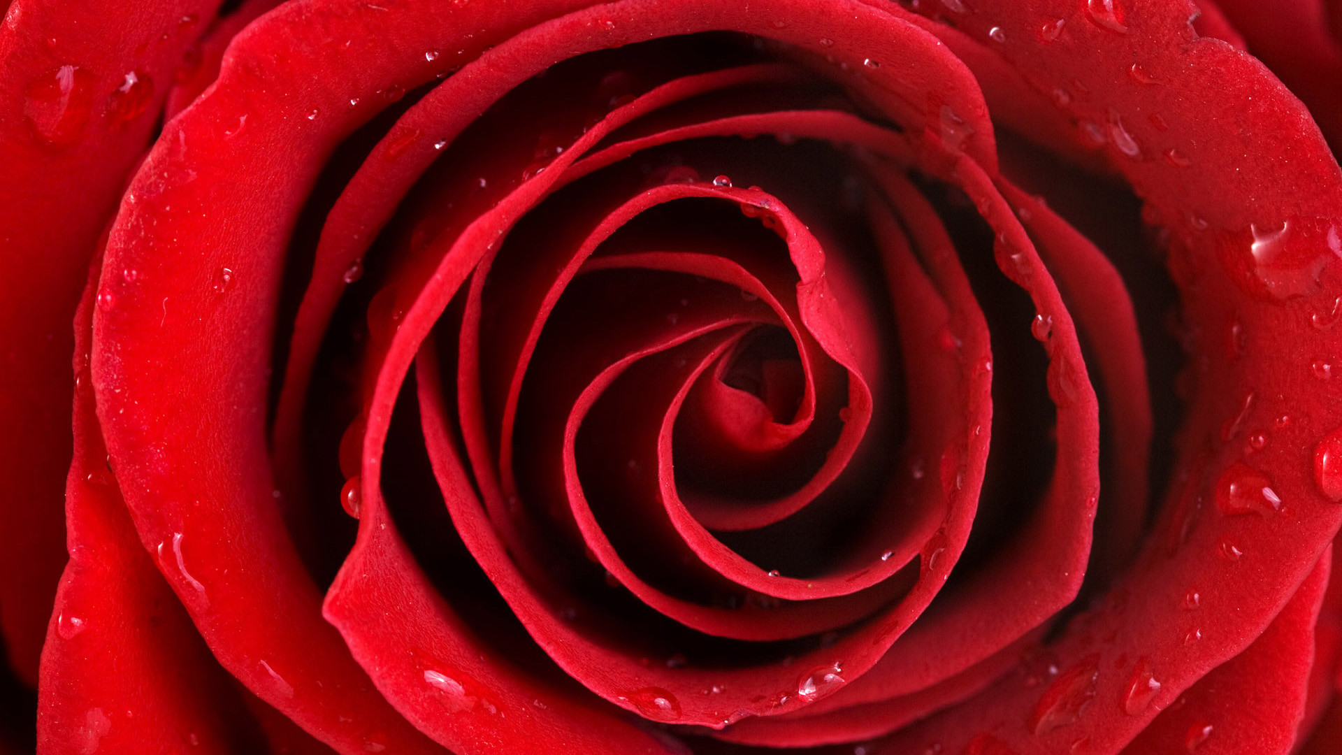 1920x1080 Red roses PNG Wallpapers, Rose Flower images, Rose Pictures and ... src