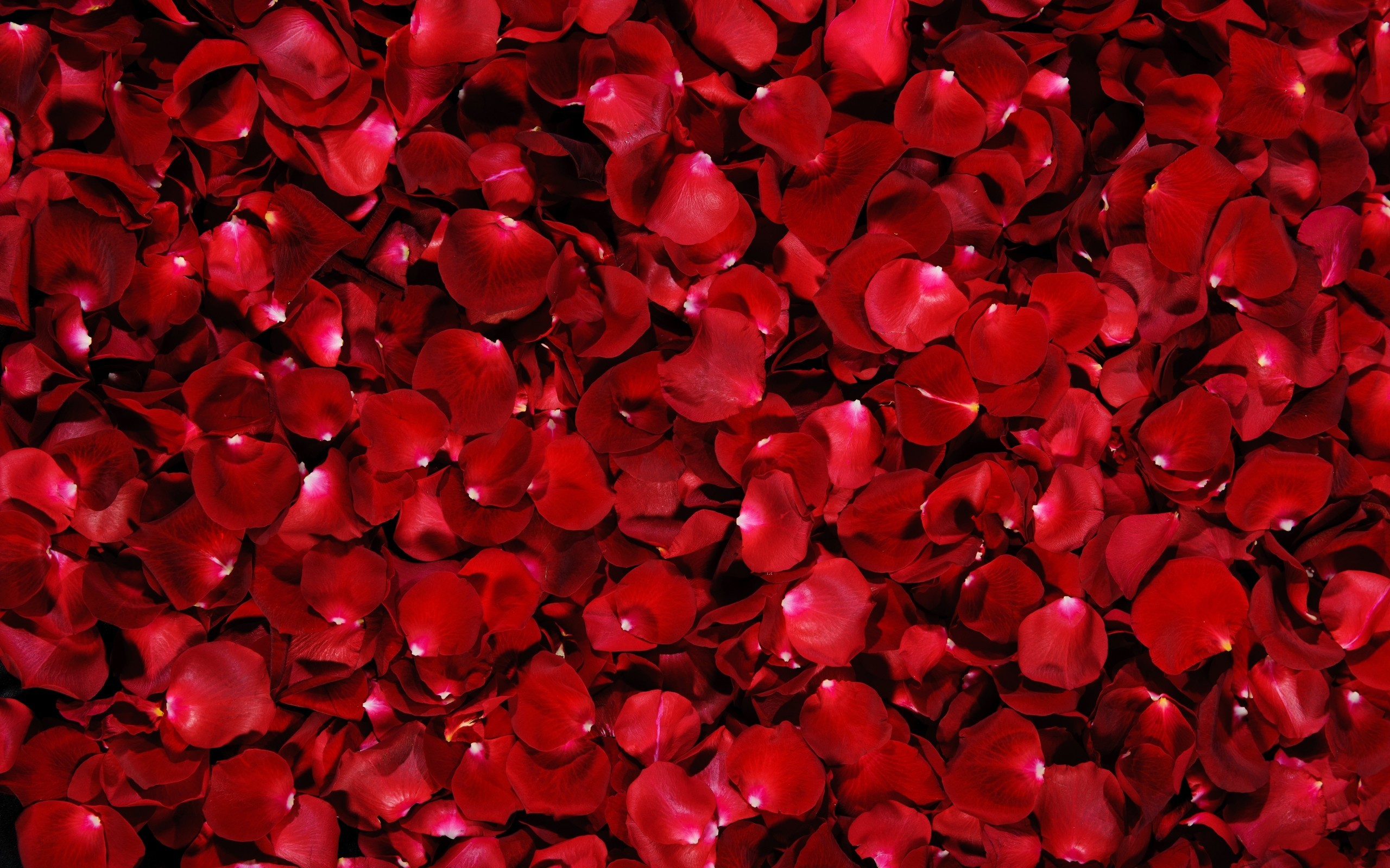 Dark Red Roses Wallpaper (59+ images)