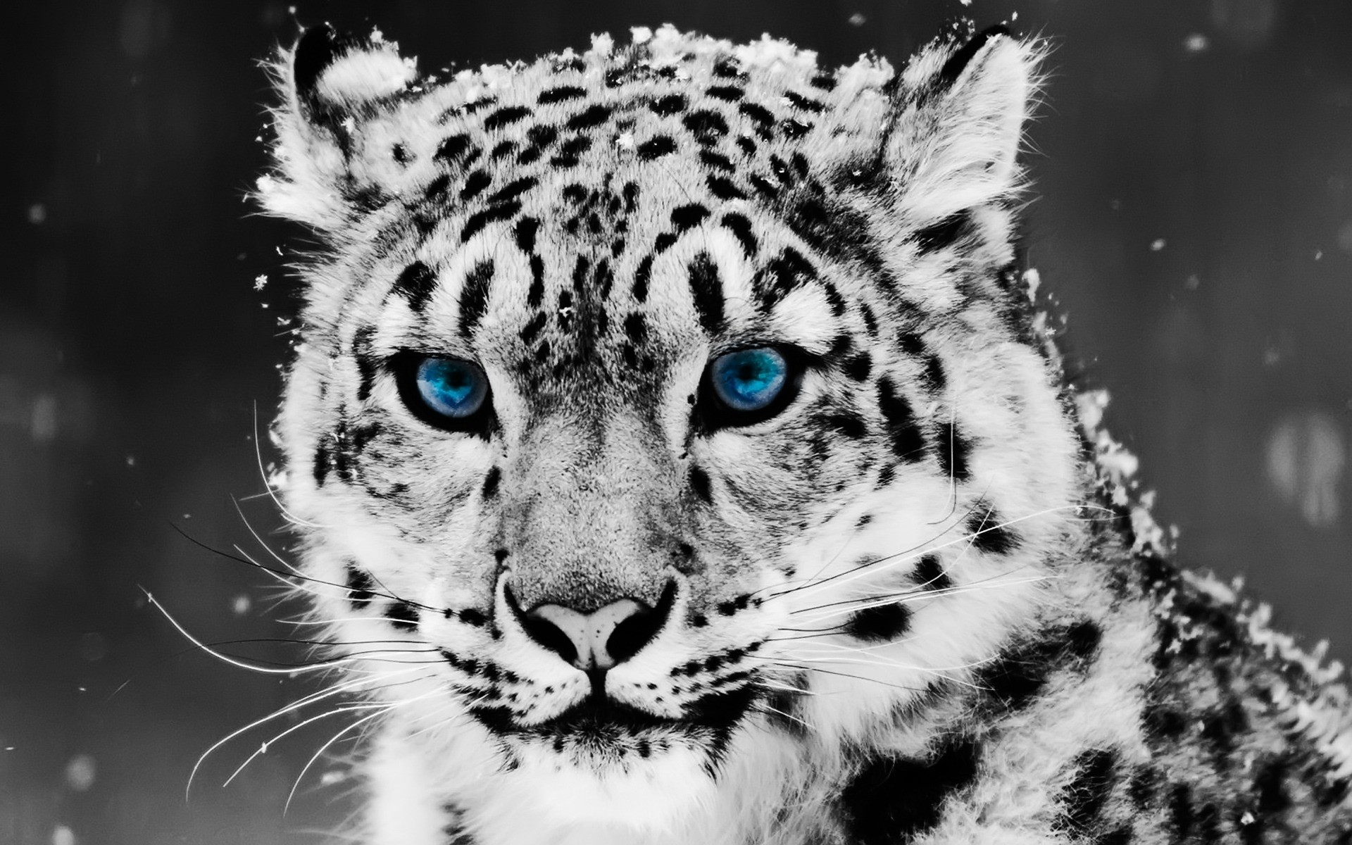 1920x1200 Snow Leopard Wallpaper Big Cats Animals Wallpapers