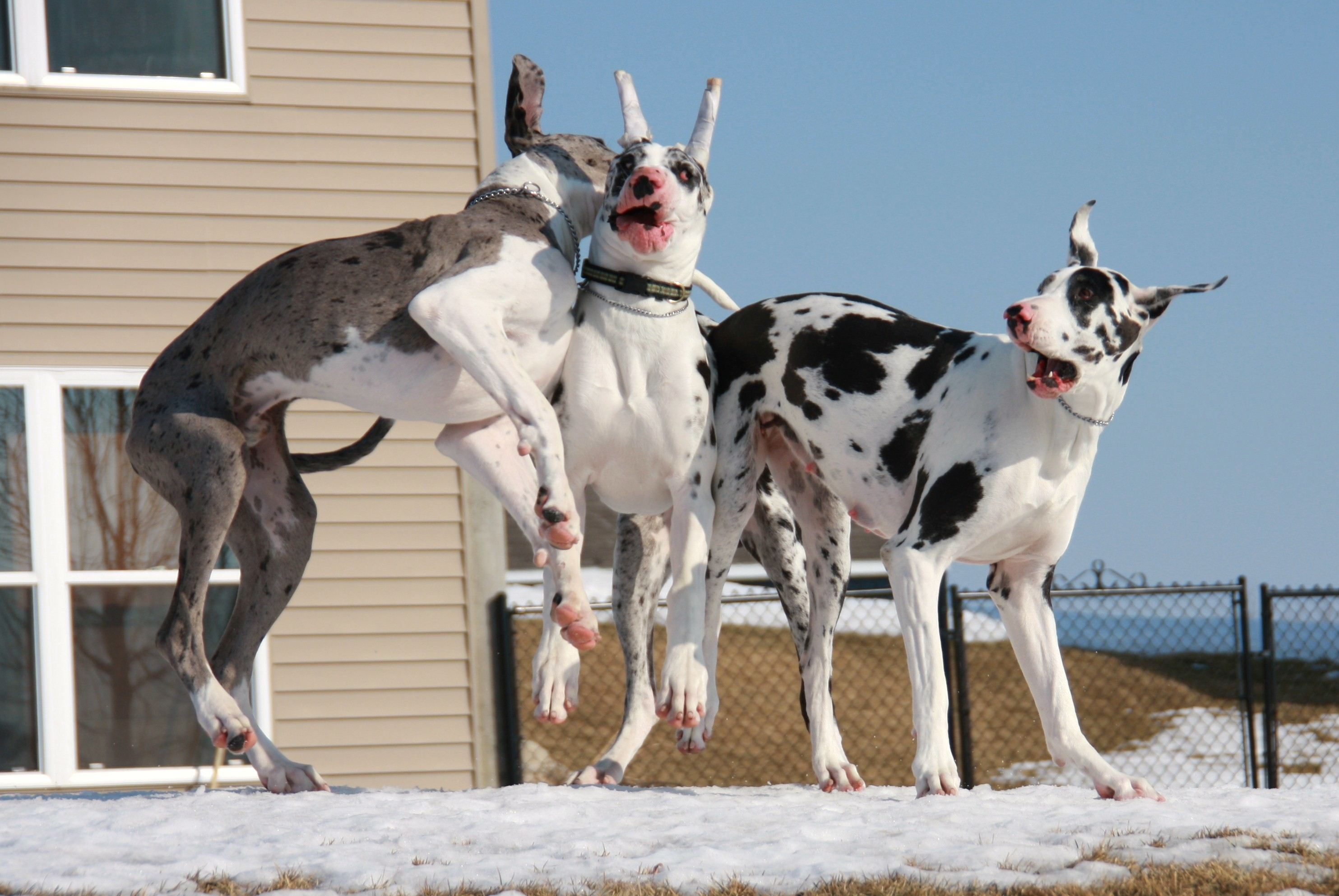 Great Dane Dog Wallpapers: Great Dane Wallpaper (58+ Images