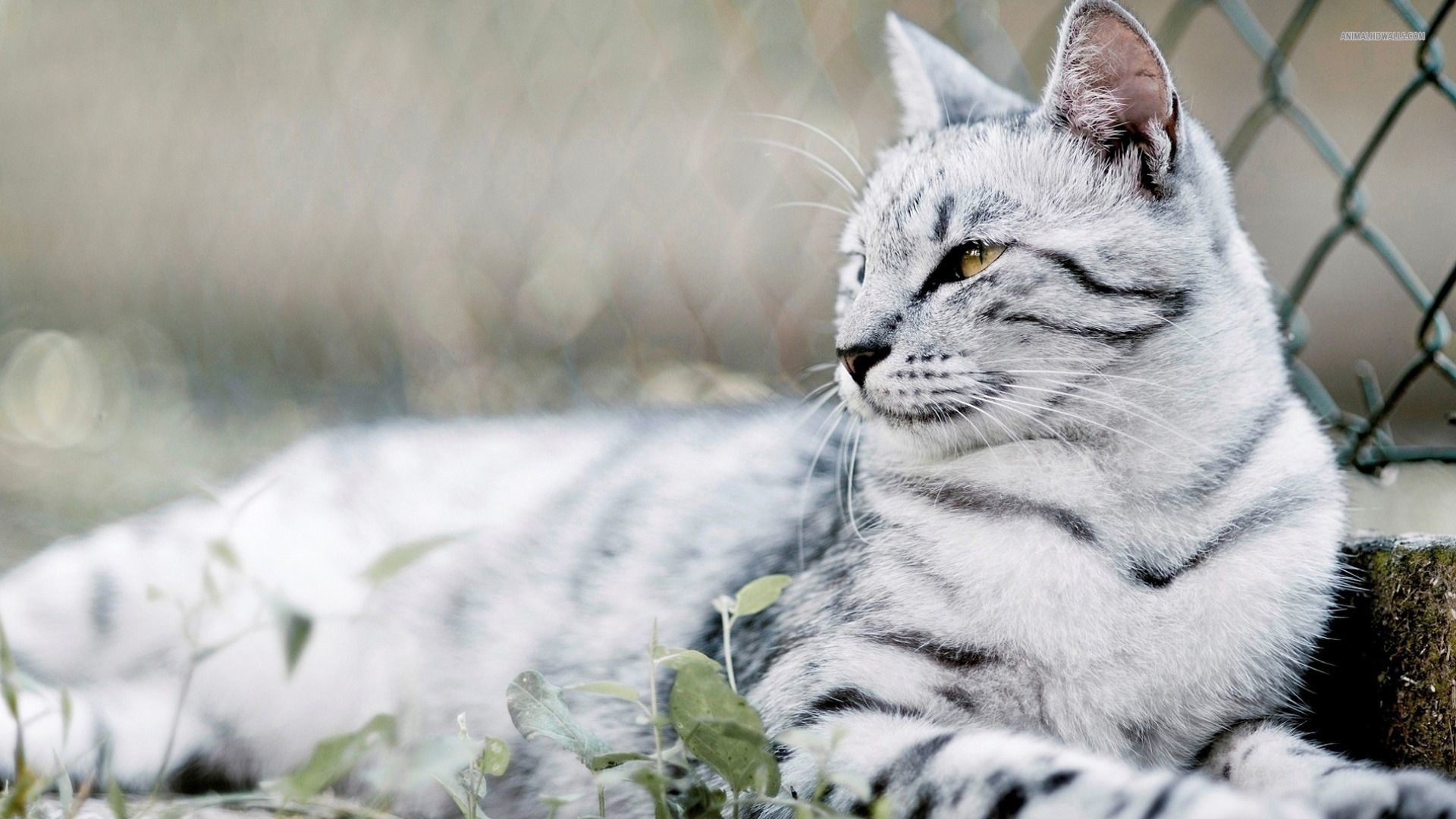 1920x1080 High Resolution Cute Animal Kitty Cat Desktop Background 12 .