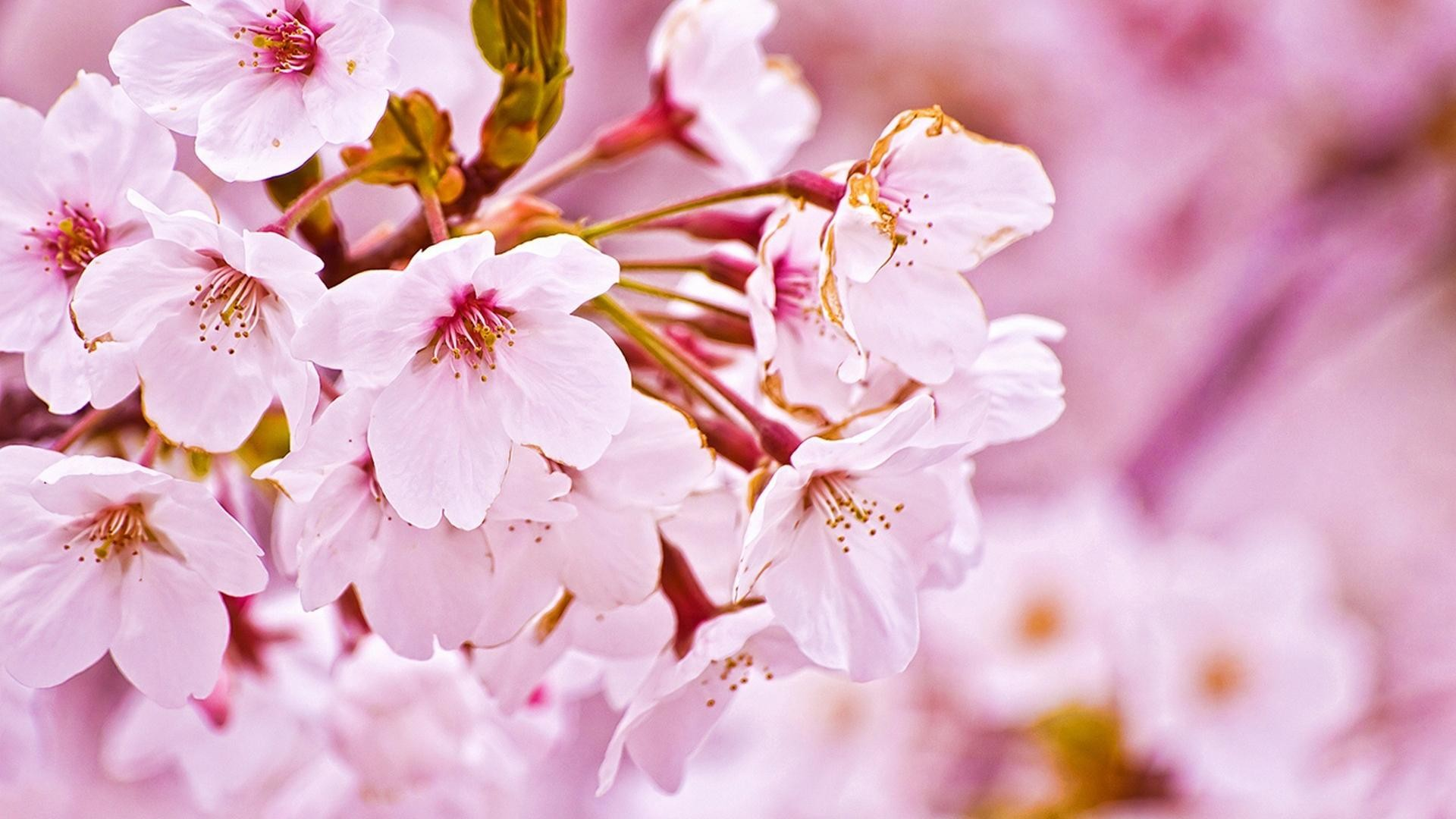 1920x1080 Japan cherry blossoms flowers spring (season) wallpaper