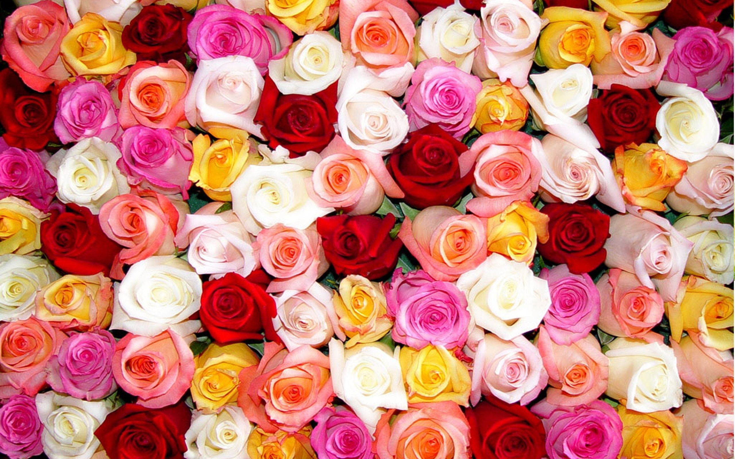What do Different Colors of Roses Mean with pictures