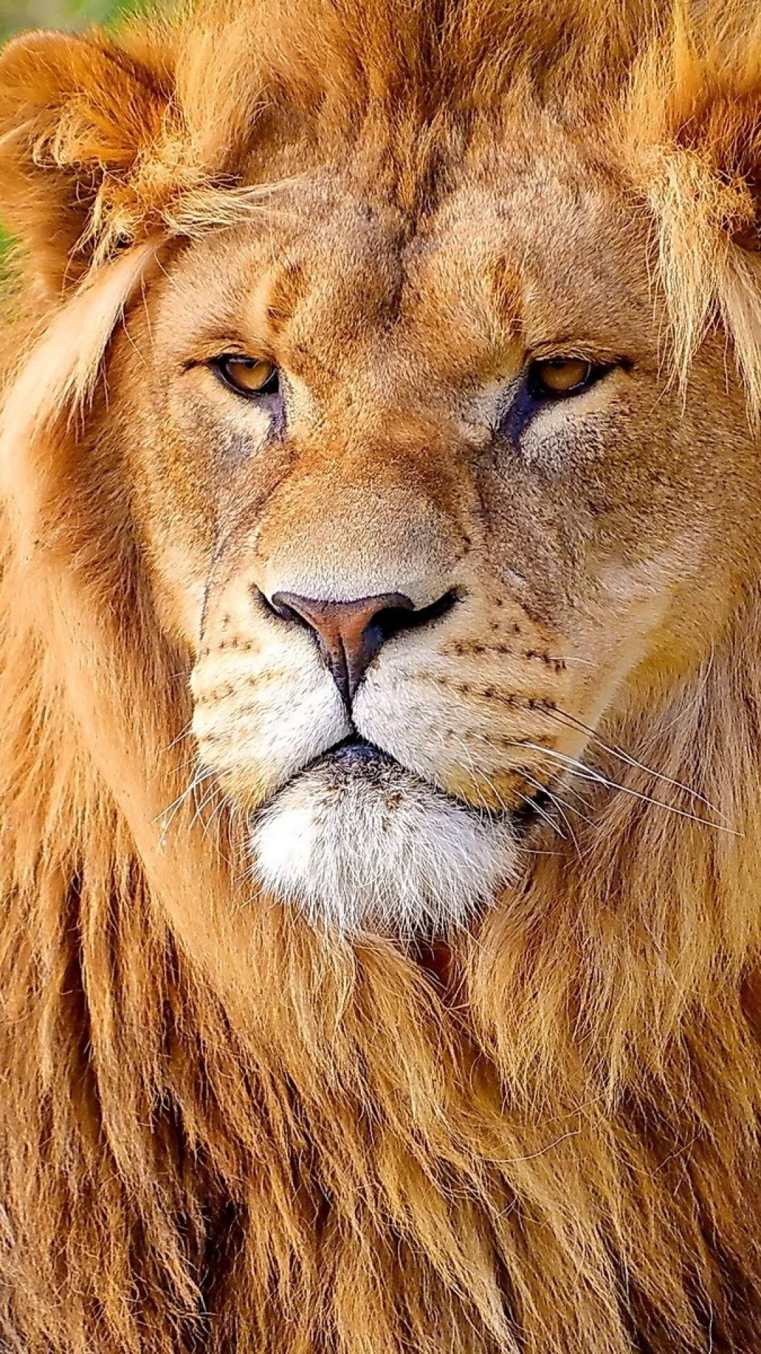Lion Face Wallpaper (68+ Images