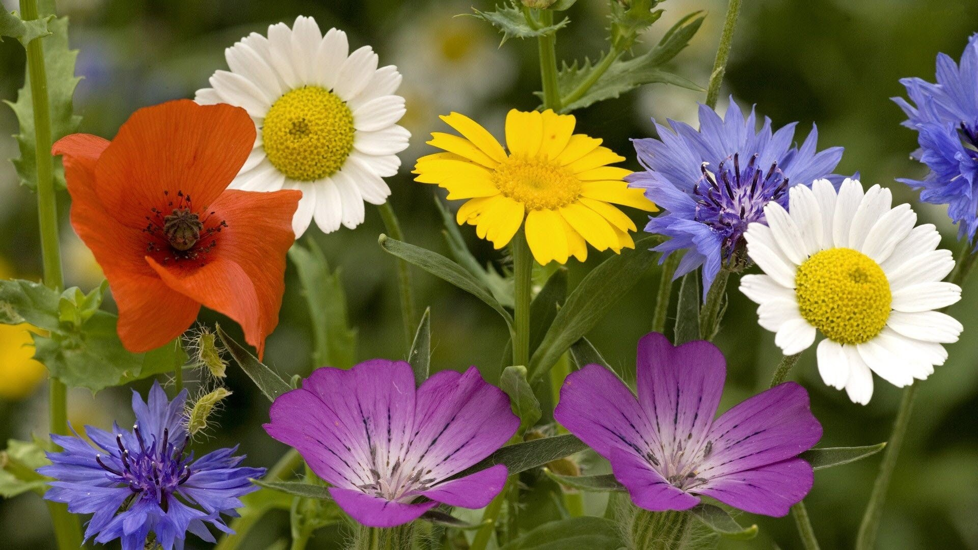 1920x1080 wallpaper.wiki-Free-Spring-Flowers-Picture-Download-PIC-