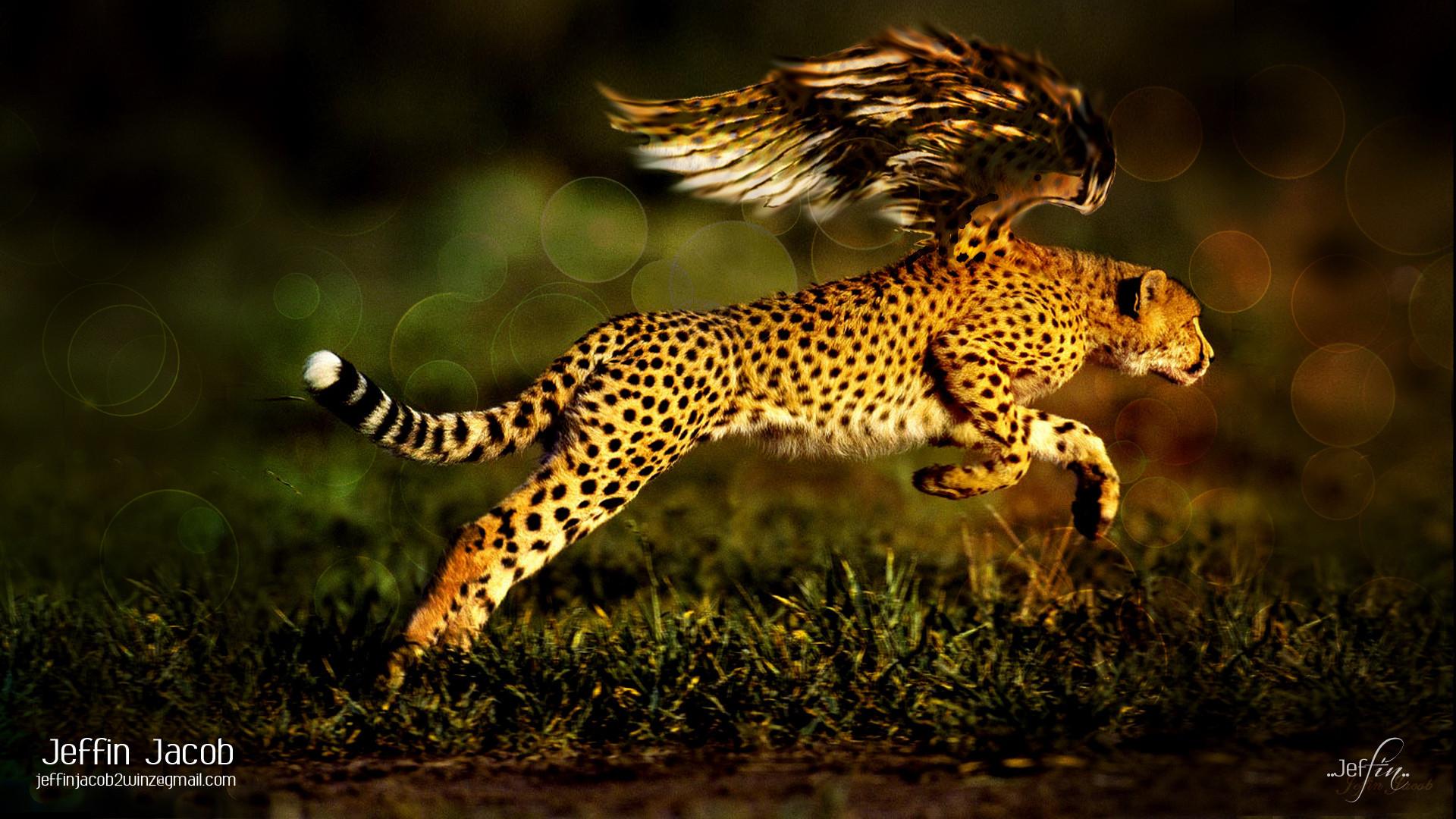 Cheetah Wallpaper The Wallpaper