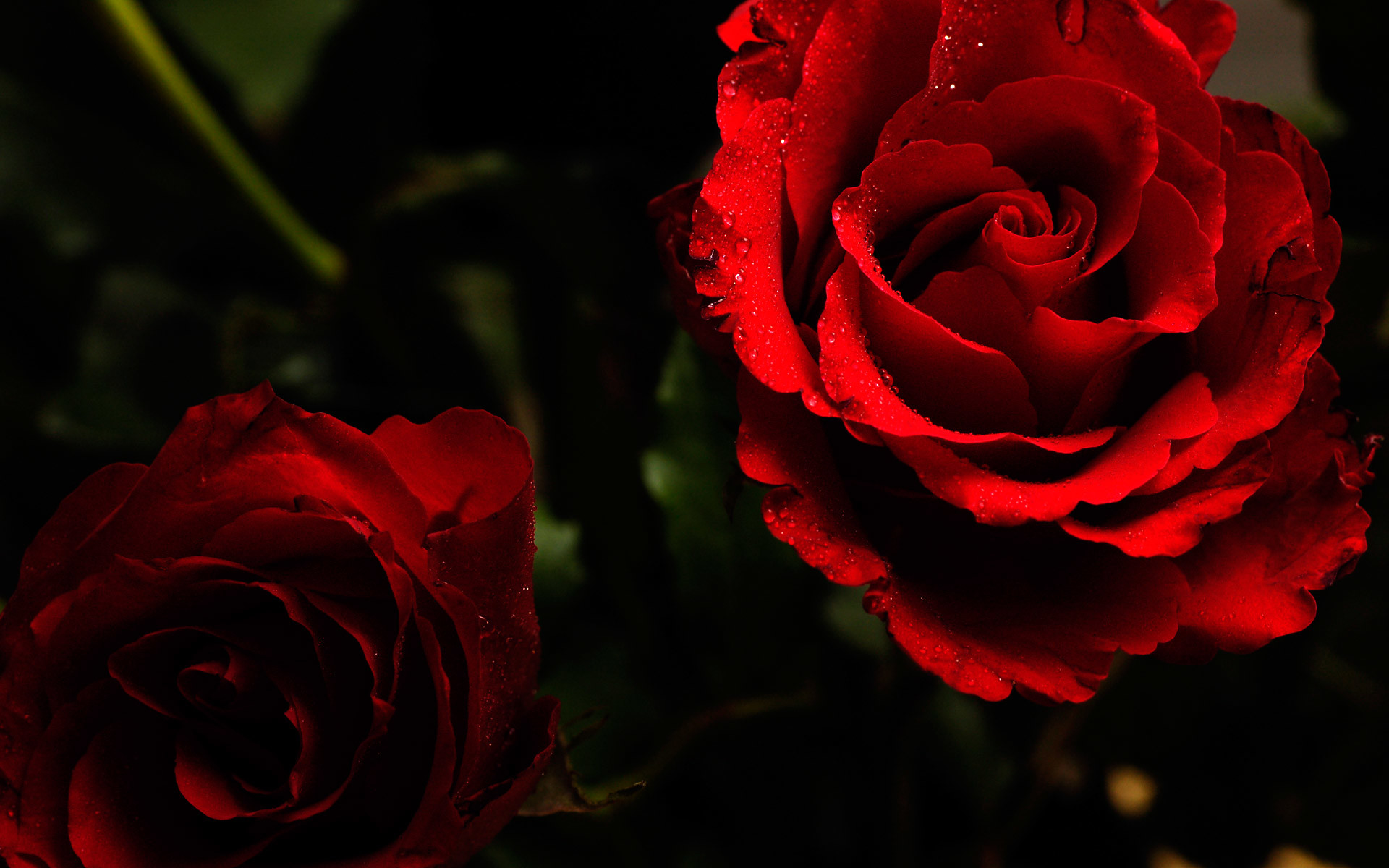 1920x1200 beautiful red rose wallpaper. Â«Â«