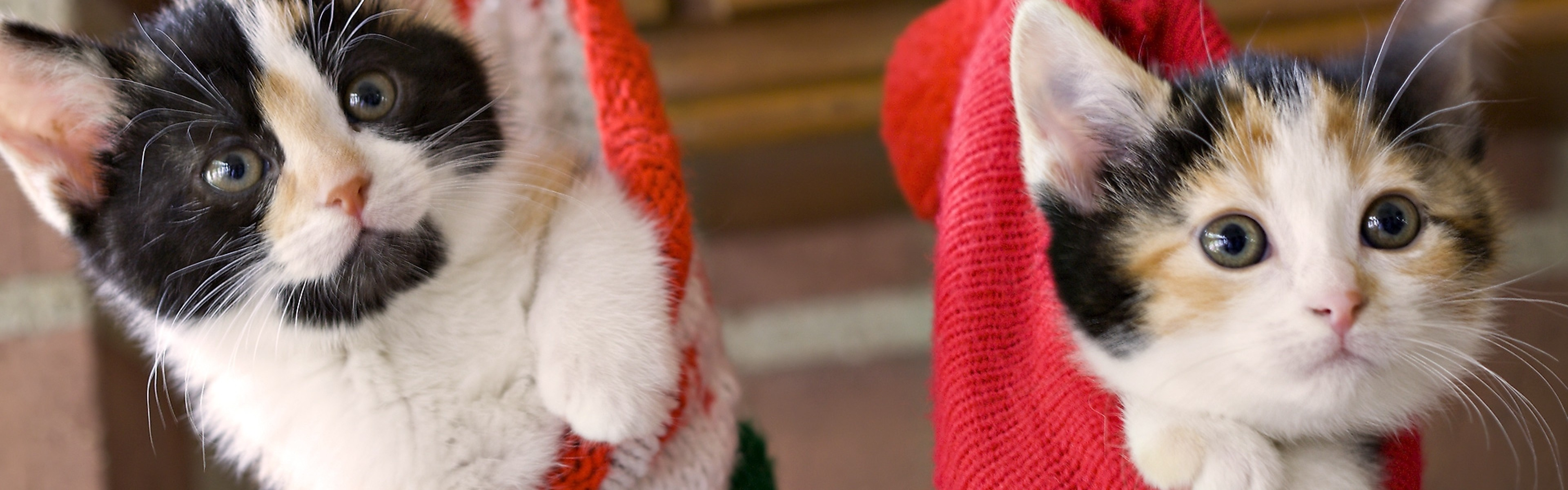 3840x1200  Wallpaper kittens, hang, socks, holiday, christmas, fluffy, couple