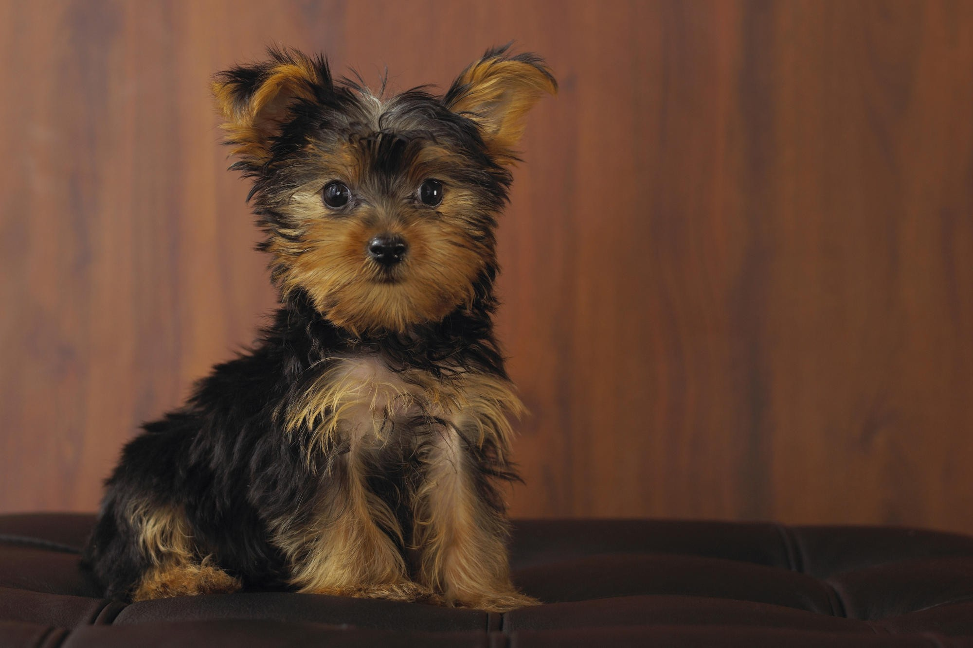 Yorkie Puppies Wallpaper 51 Images