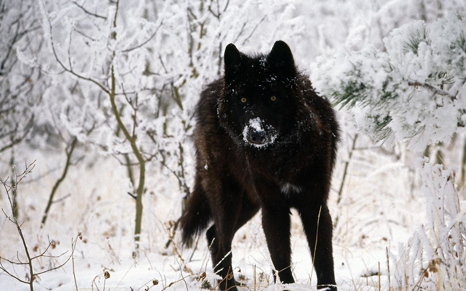 1920x1200 Surprising Black Wolf Wallpaper PX ~ Wolf Wallpapers #227890