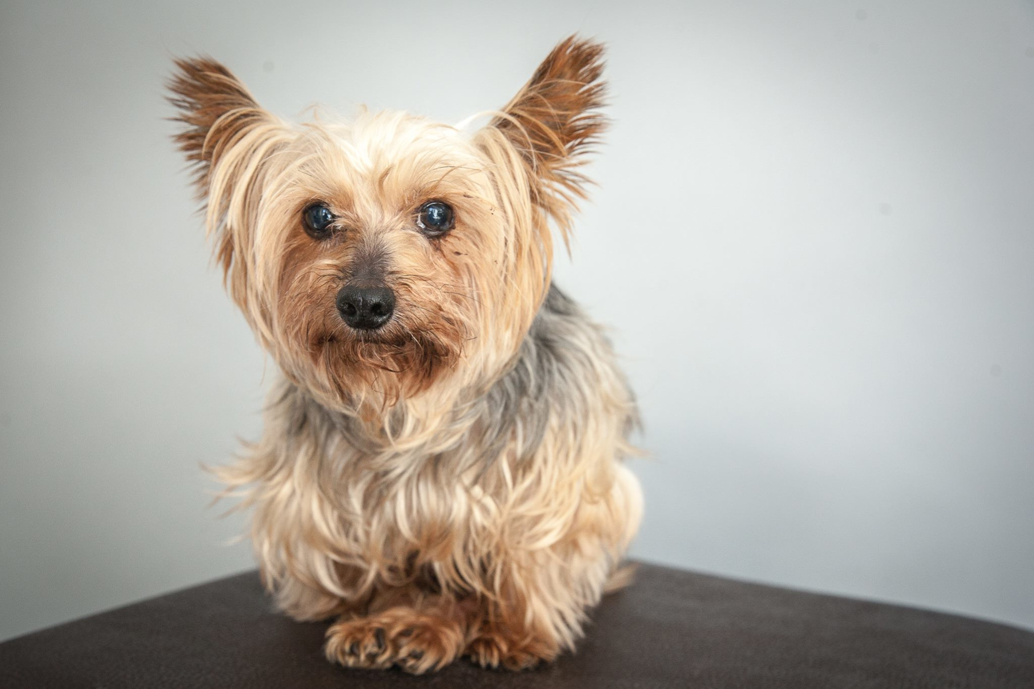 2048x1365 Nice Images Collection: Yorkshire Terrier Desktop Wallpapers