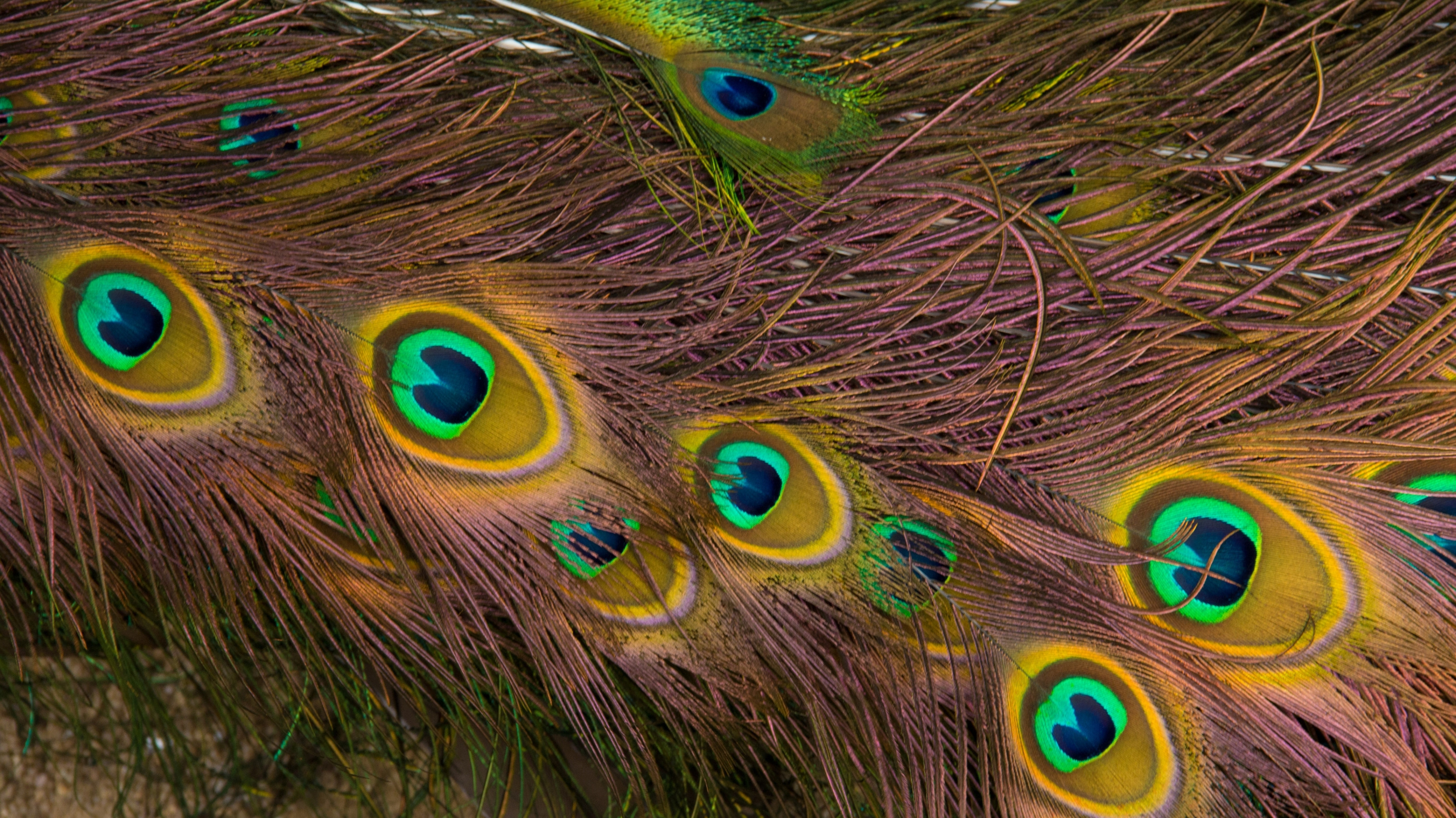 3840x2160  Wallpaper feathers, peacock, texture, background, pattern