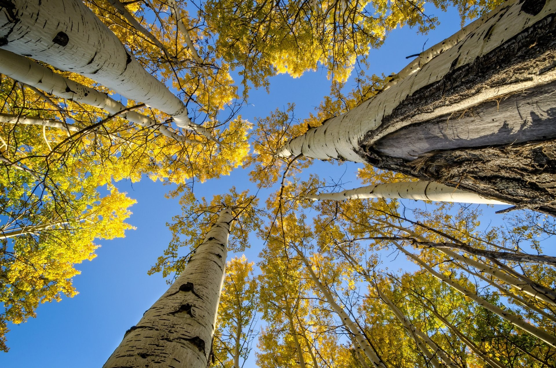 1920x1271 sky tree trunk branches leaves autumn aspen