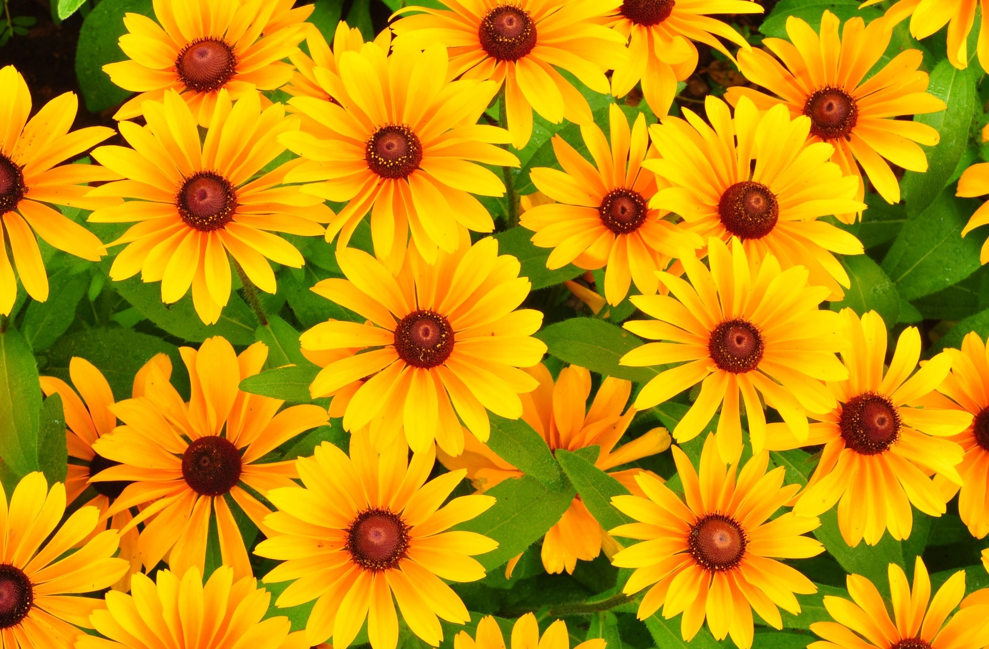3200x2100  Wallpaper rudbeckia, flowers, bright, yellow