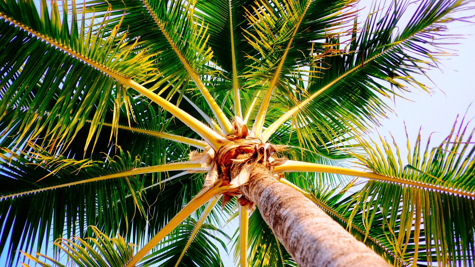 1920x1080 Filename: Palm tree from Montego Bay Jamaica_HD.jpg