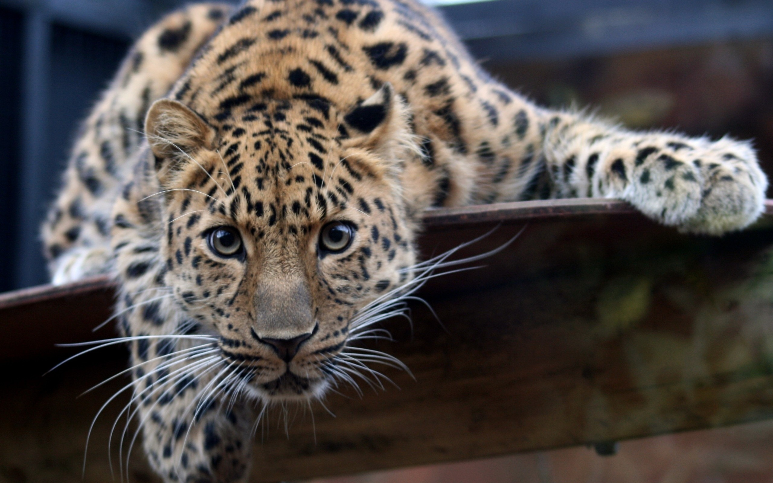 2560x1600 leopard, eyes, wild cat, big cat