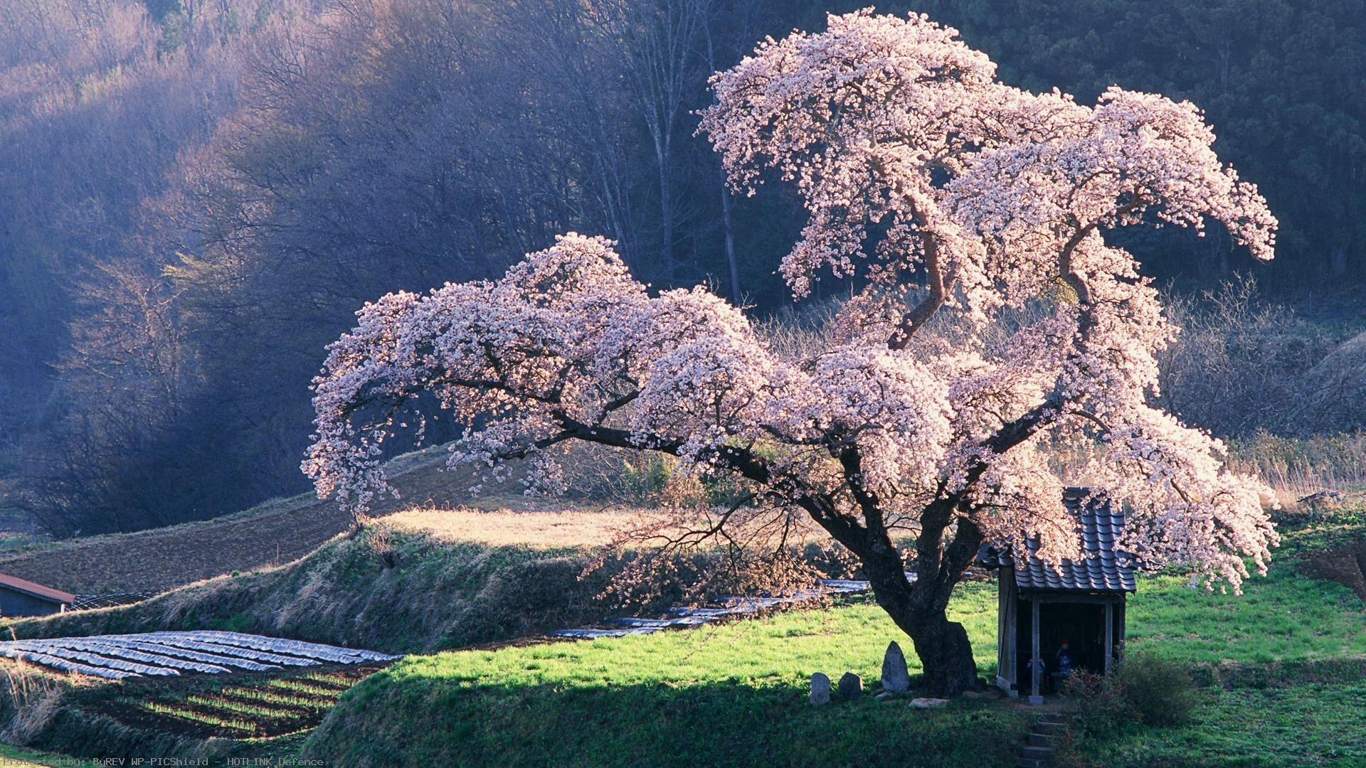1920x1080 Cherry Blossom Tree In Misty Morning Anese Blossoming