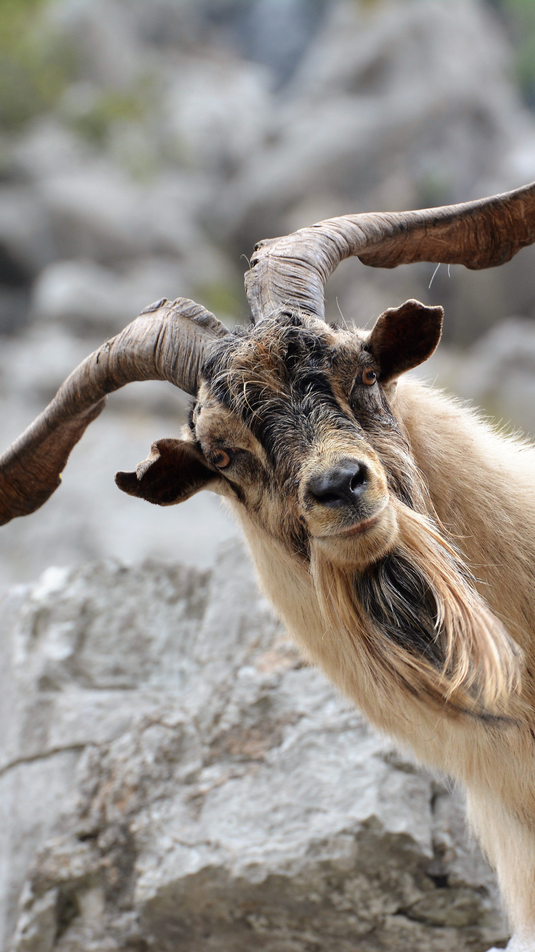 Goat Wallpapers 64+ images