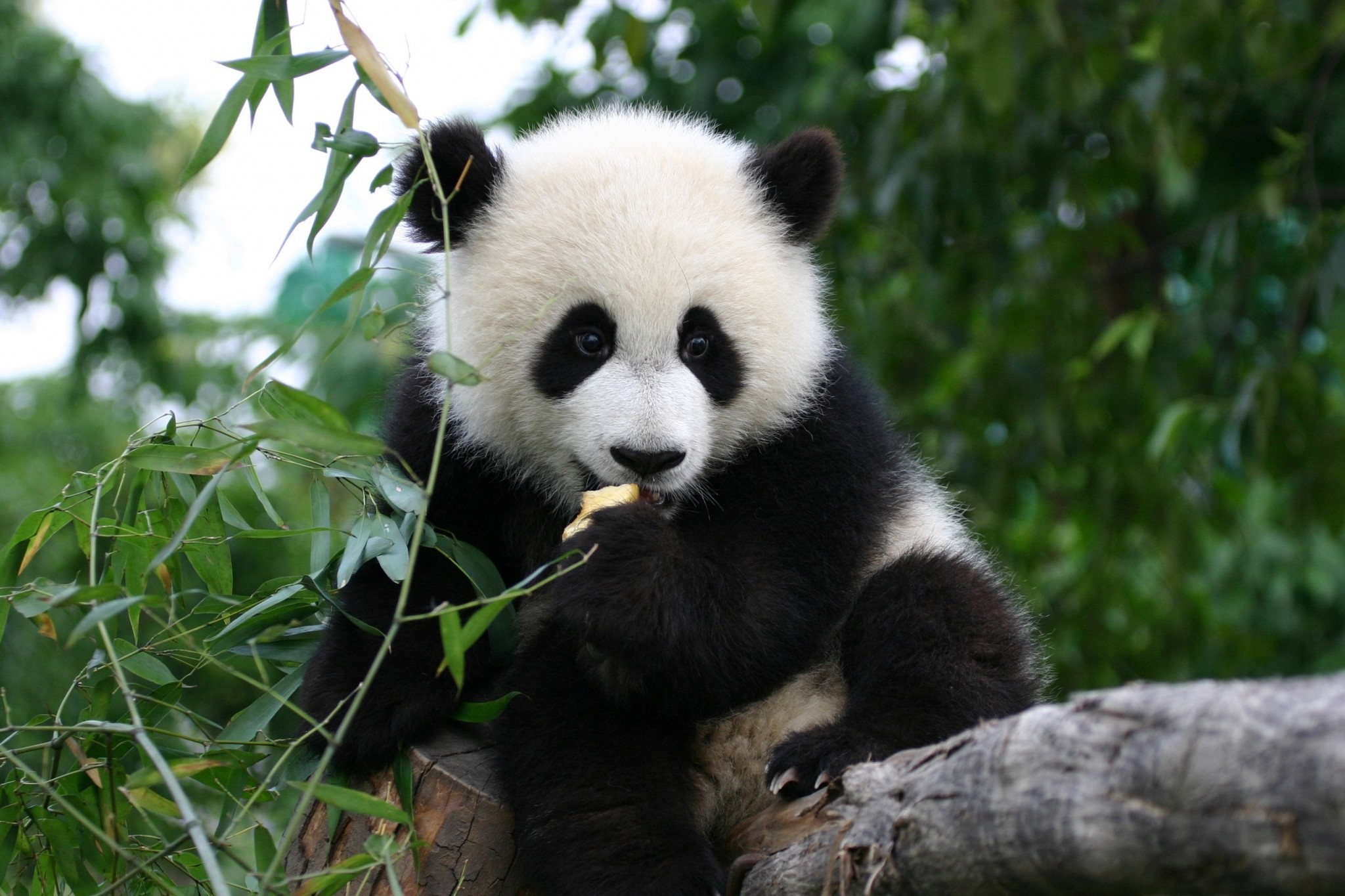 Juego De Oso Panda Gratis