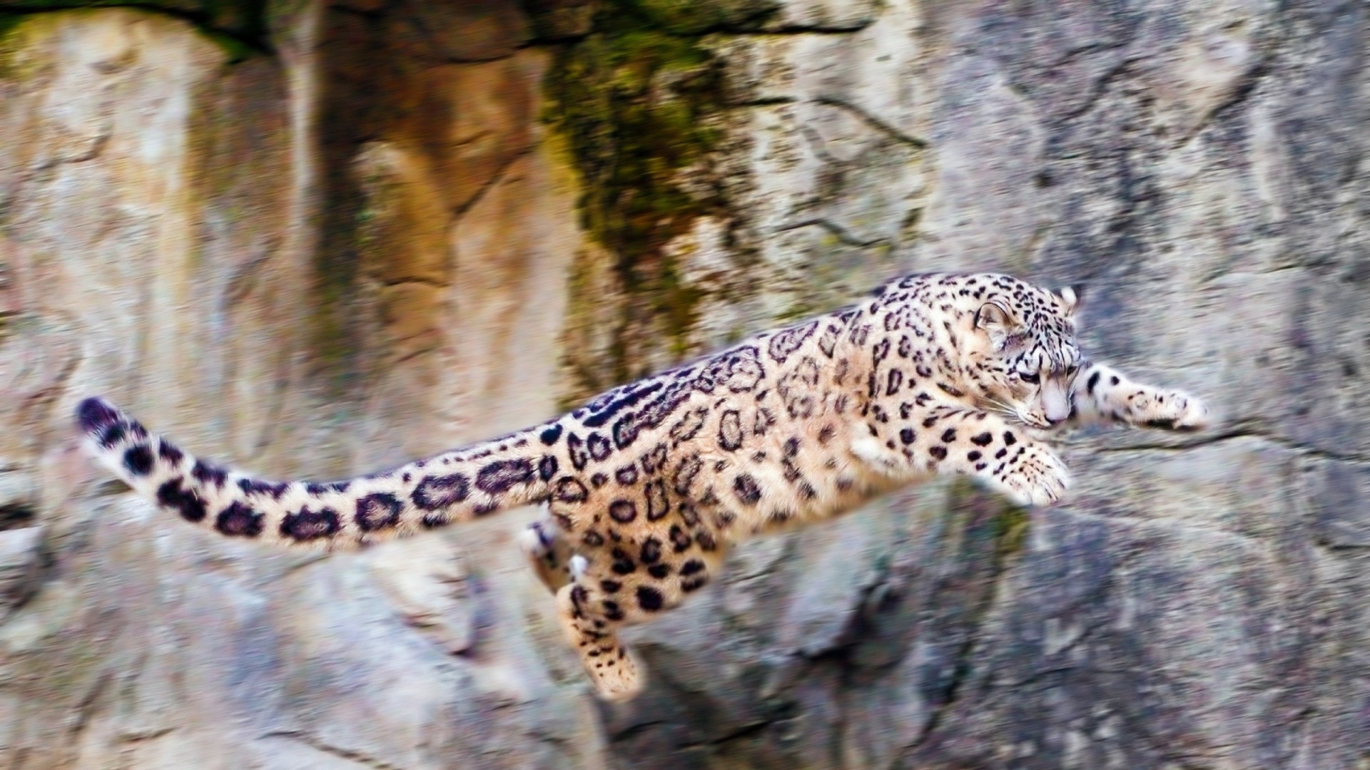 1920x1080 snow leopard, jump, big cat