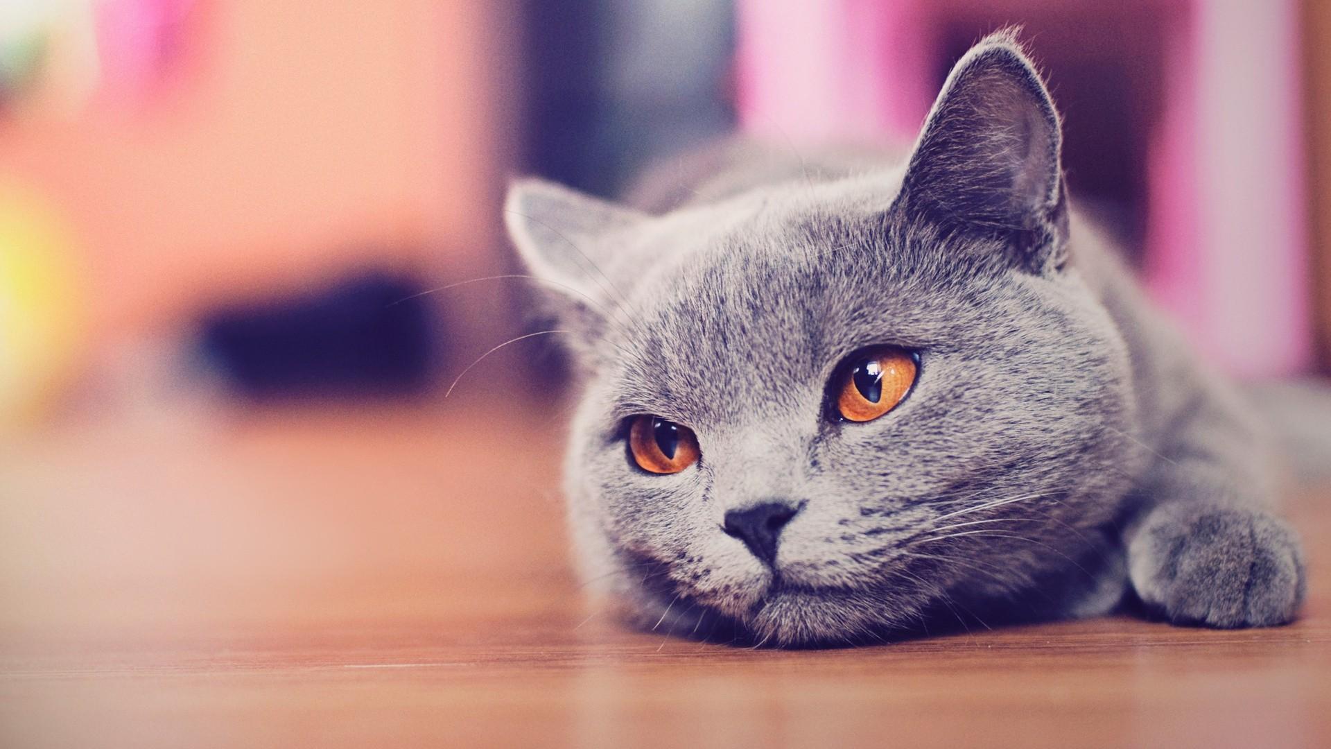 1920x1080 Lying Cat Hd – Galaxy Cat Wallpaper Iphone