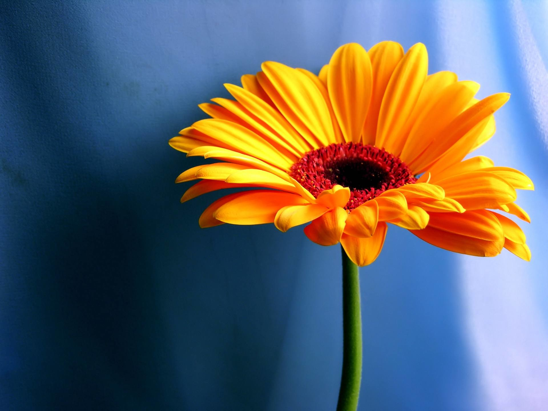1920x1440 An orange flower with a blue background