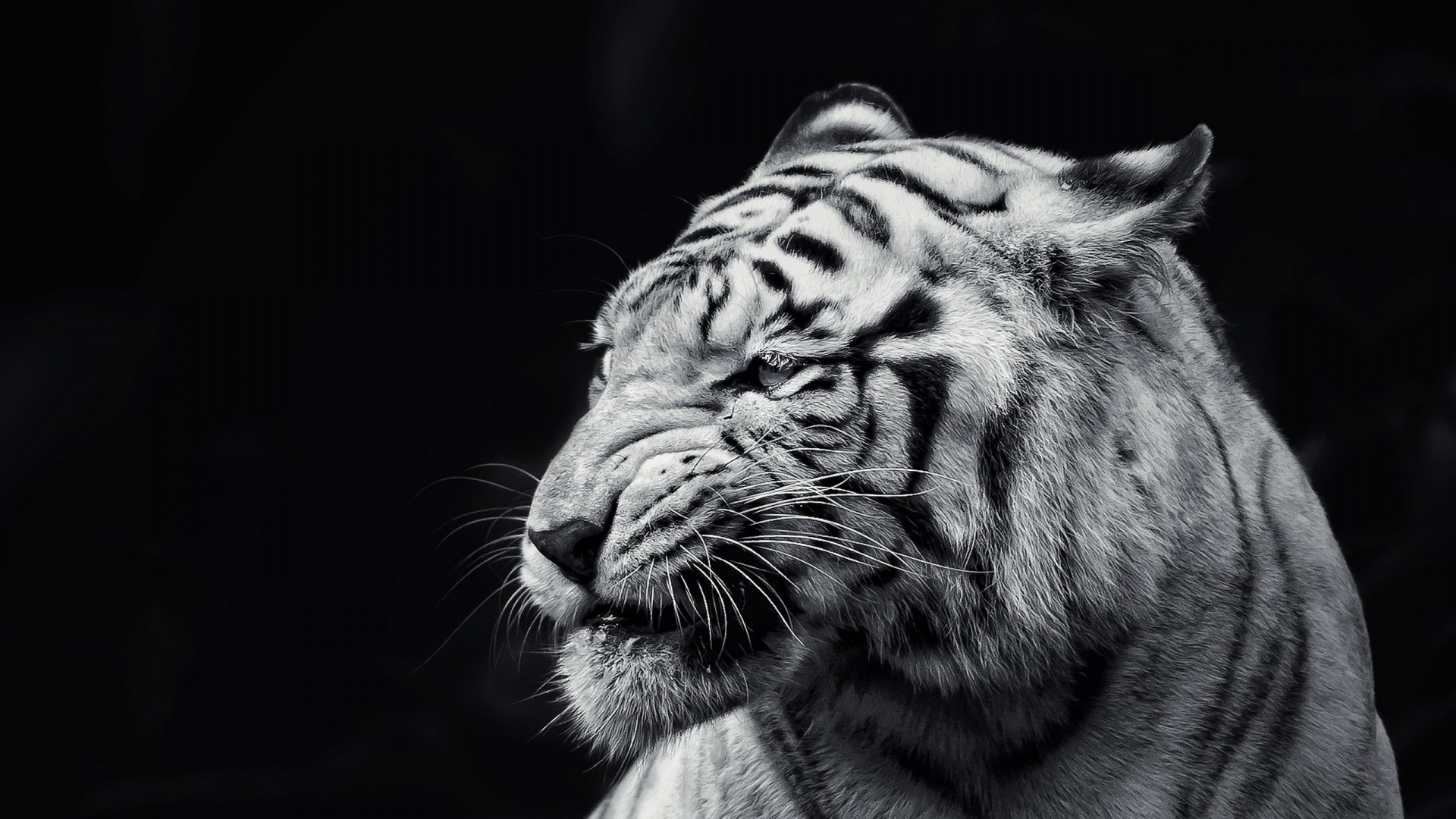 1920x1080 Tiger Wallpaper Full Hd 65 Images