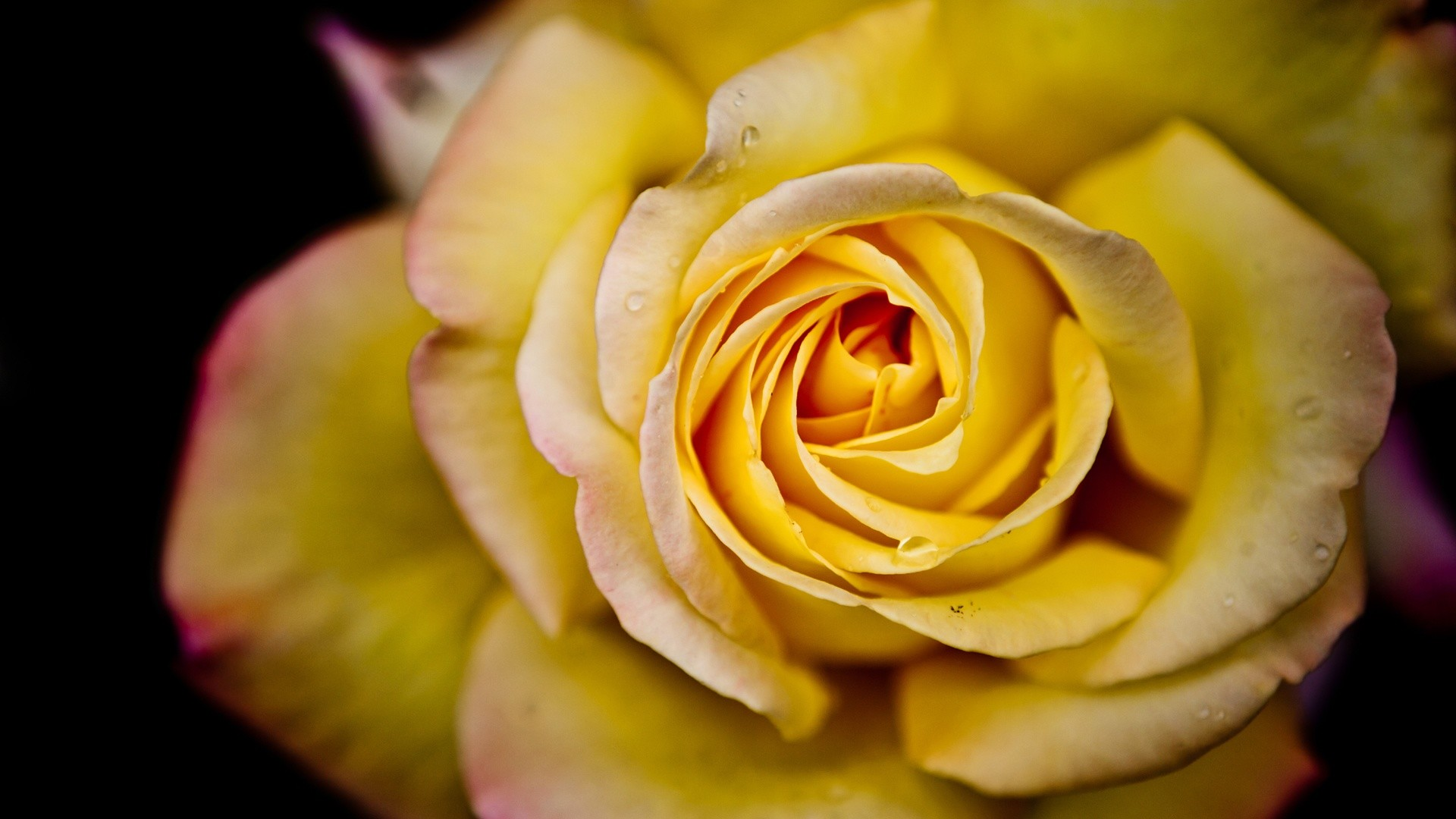 Yellow Roses Wallpaper (67+ Images