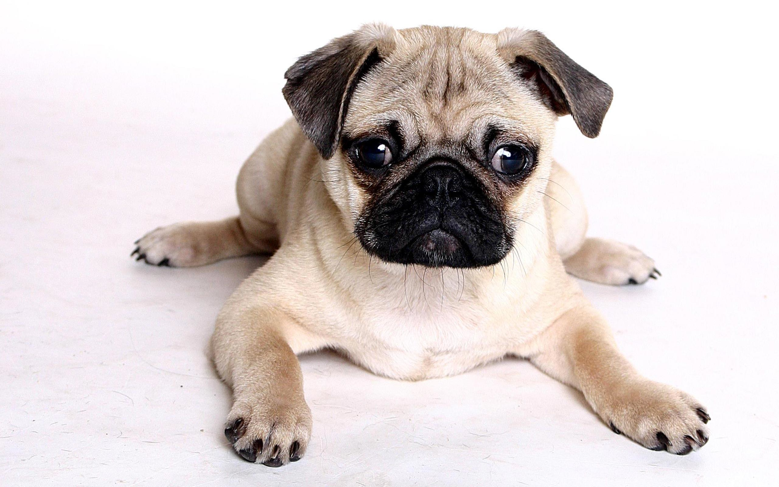 2560x1600 Pug wallpapers HD
