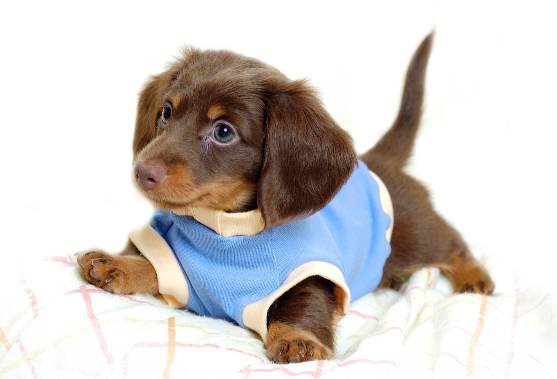 Dachshund Puppies Wallpaper (68+ images)