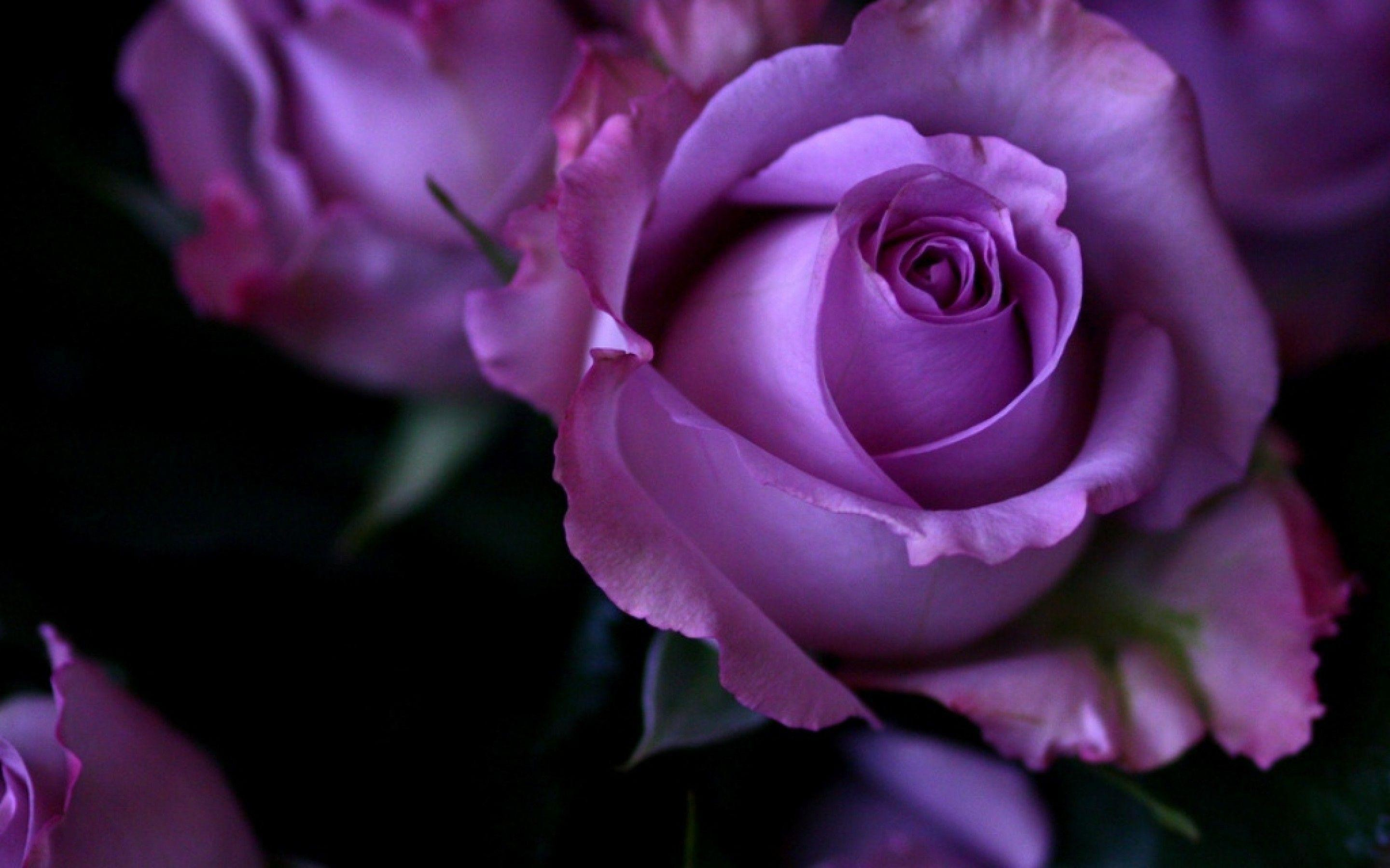 Purple Roses Background Images: Roses Screensaver Wallpaper (45+ Images