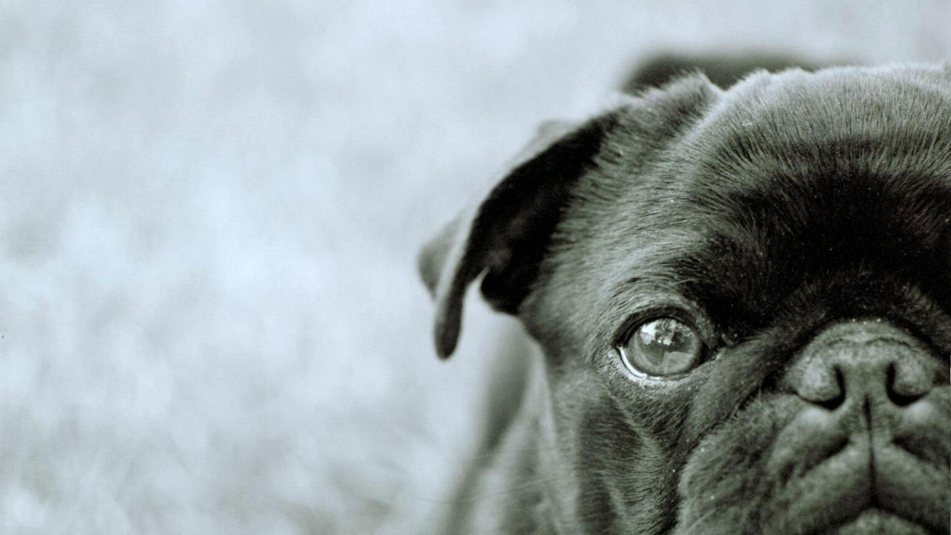 1920x1080 3840x2160 Pug Puppy ChromeBook Wallpaper