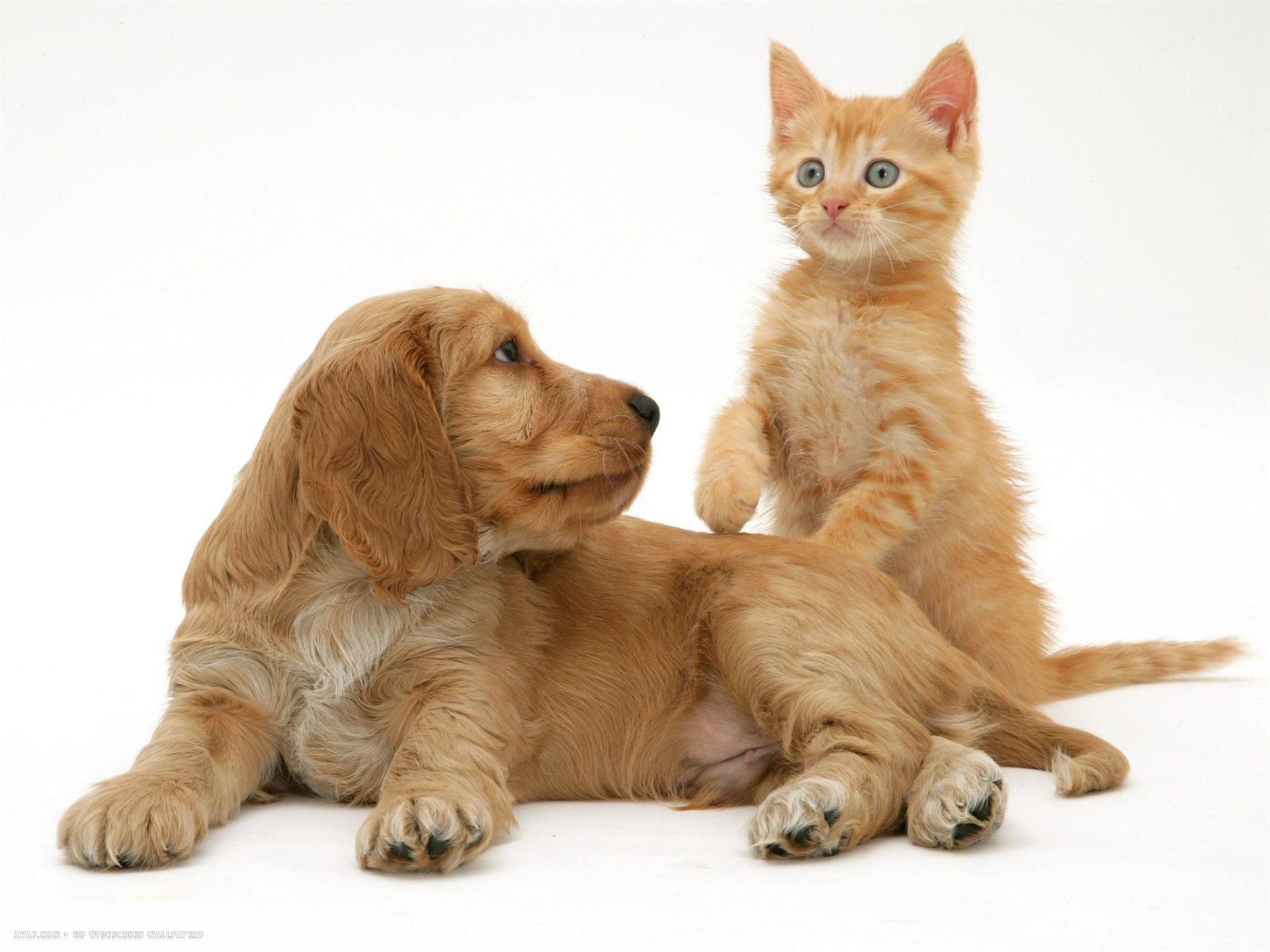 1920x1440 ginger kitten with golden cocker spaniel puppy. wallpaper ...