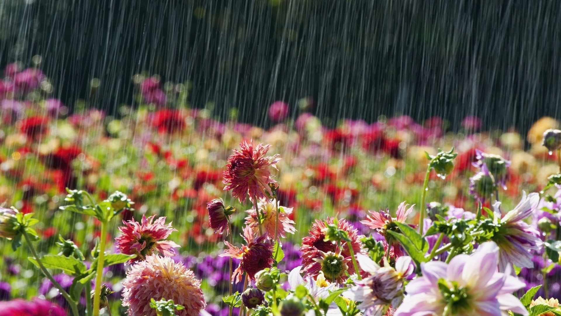 1920x1080 Rainy Season HD Wallpapers, Rain makes our life most beautiful .So, Rainy  season