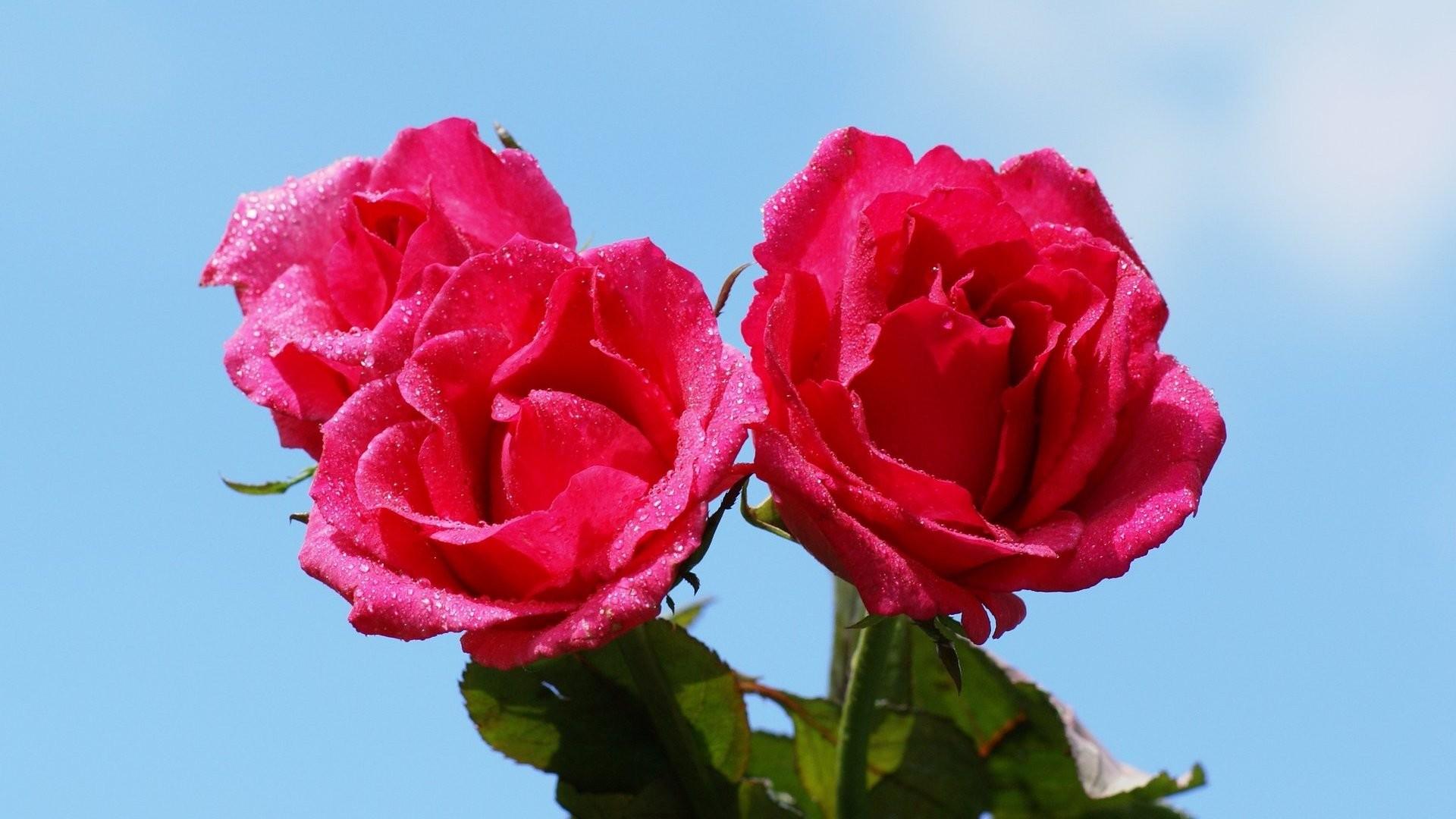 1920x1200 Free Download Most Beautiful Pink Rose Wallpaper