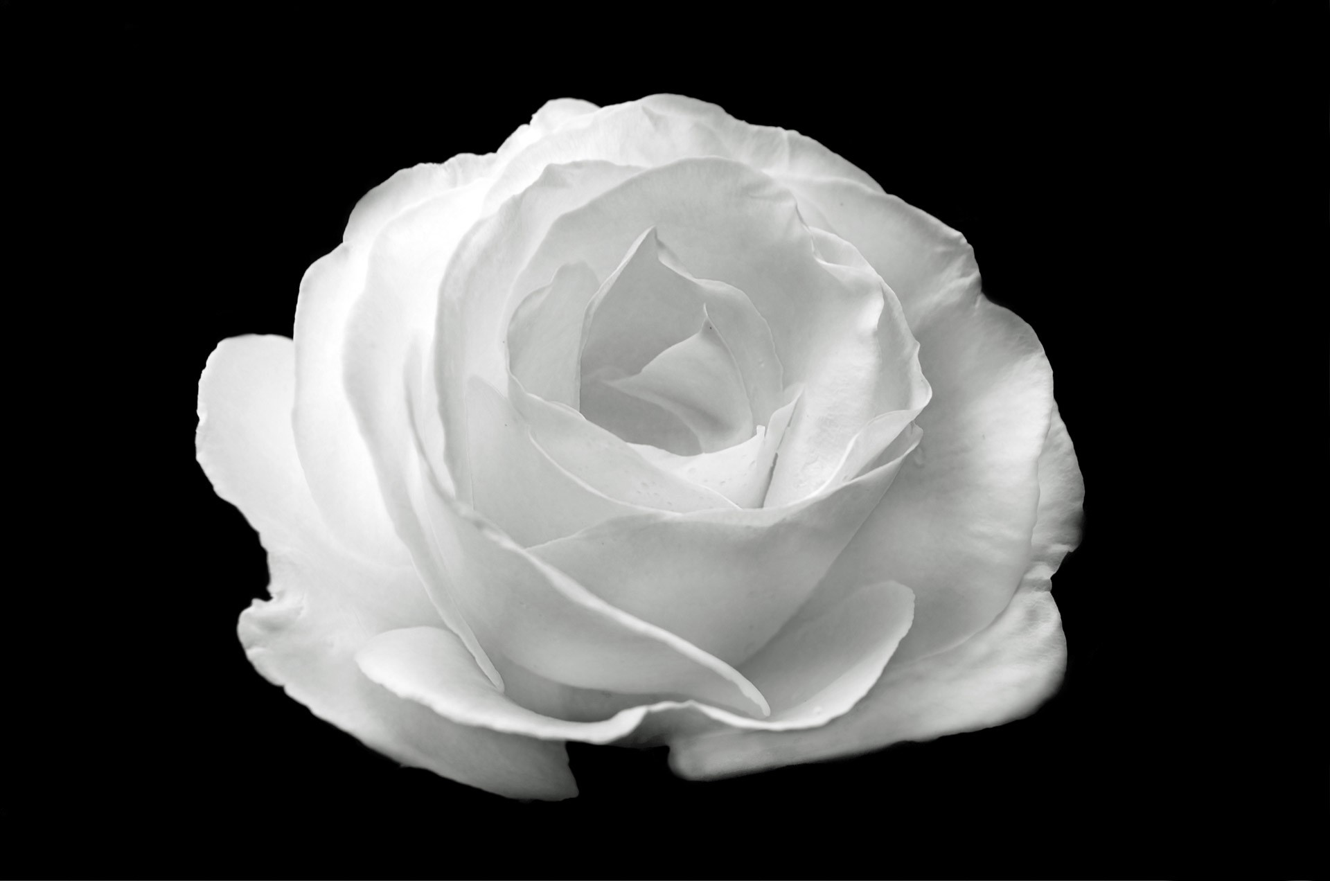 Black And White Rose Wallpaper 61 Images