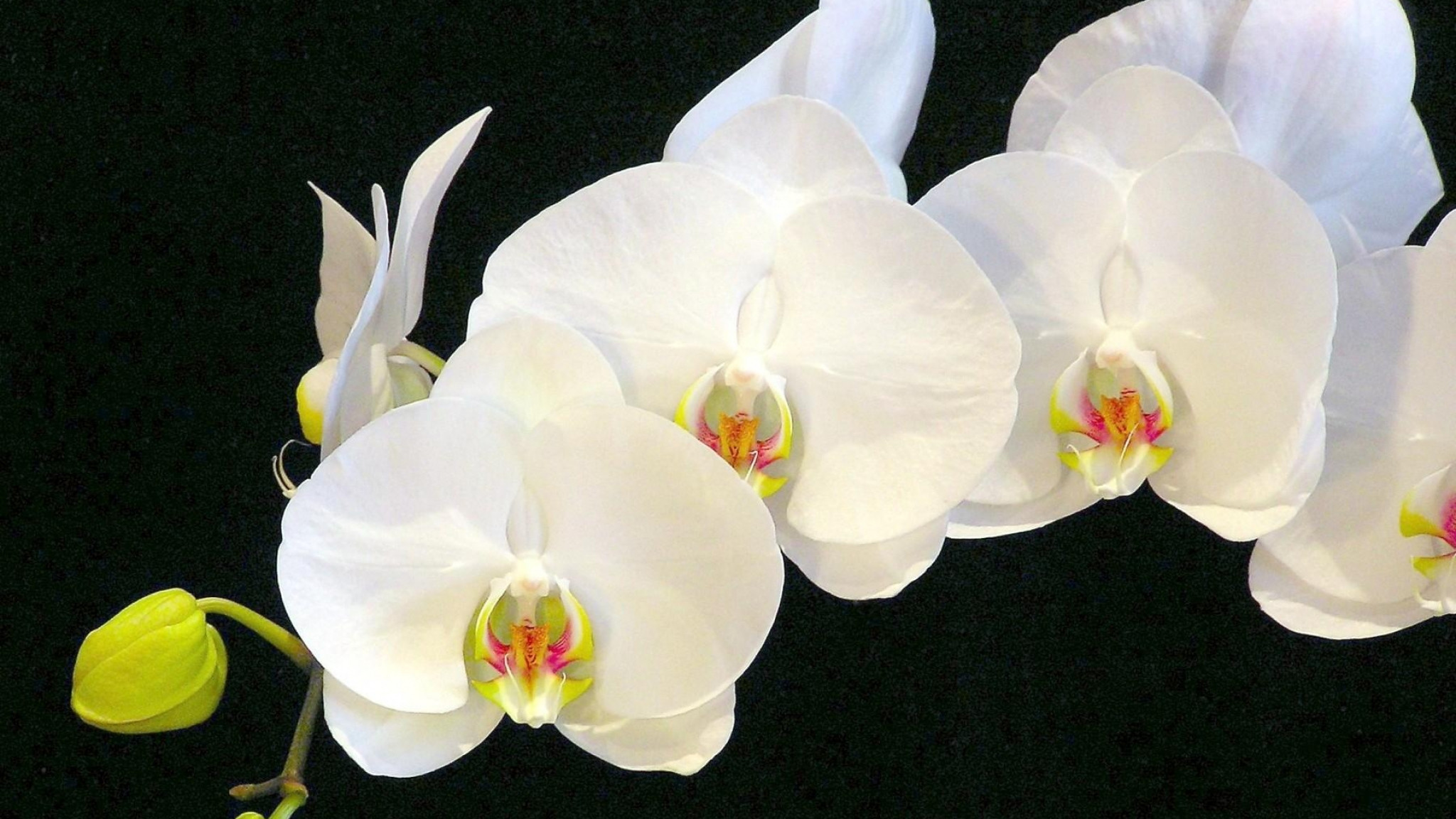 White orchid wallpaper 60 images - White orchid flowers desktop wallpapers ...