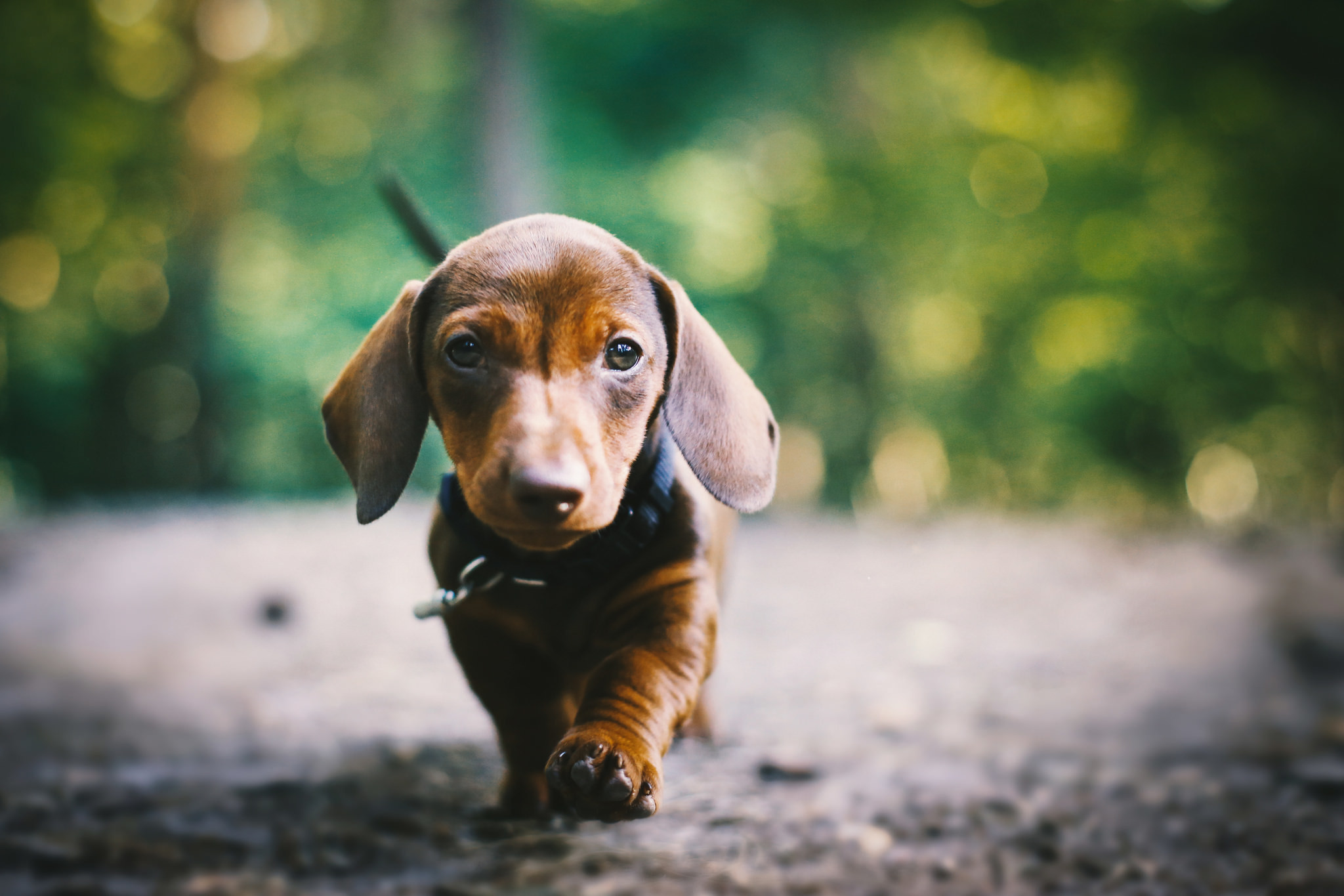 2048x1365 Dachshund Wallpaper