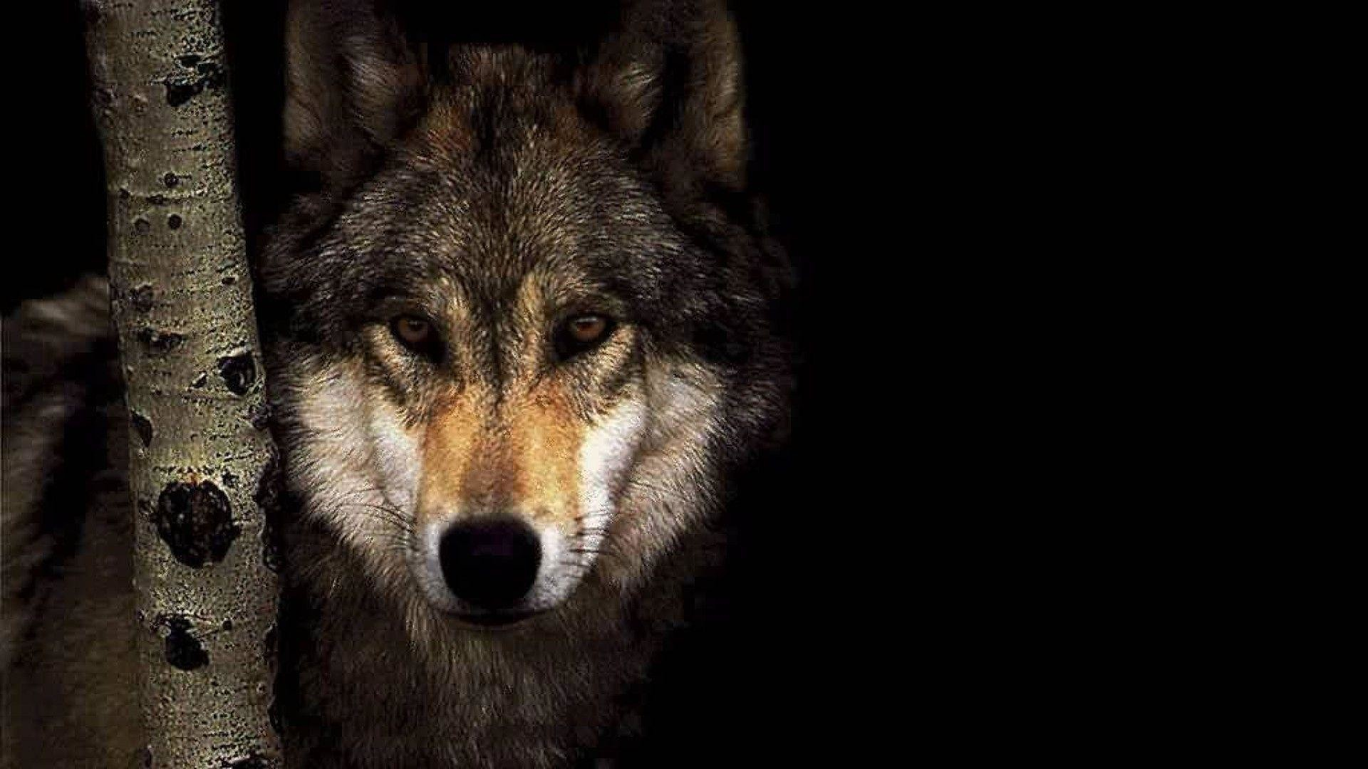 1920x1080 Wolf 3308 Wolf Wallpaper  | Hot HD Wallpaper