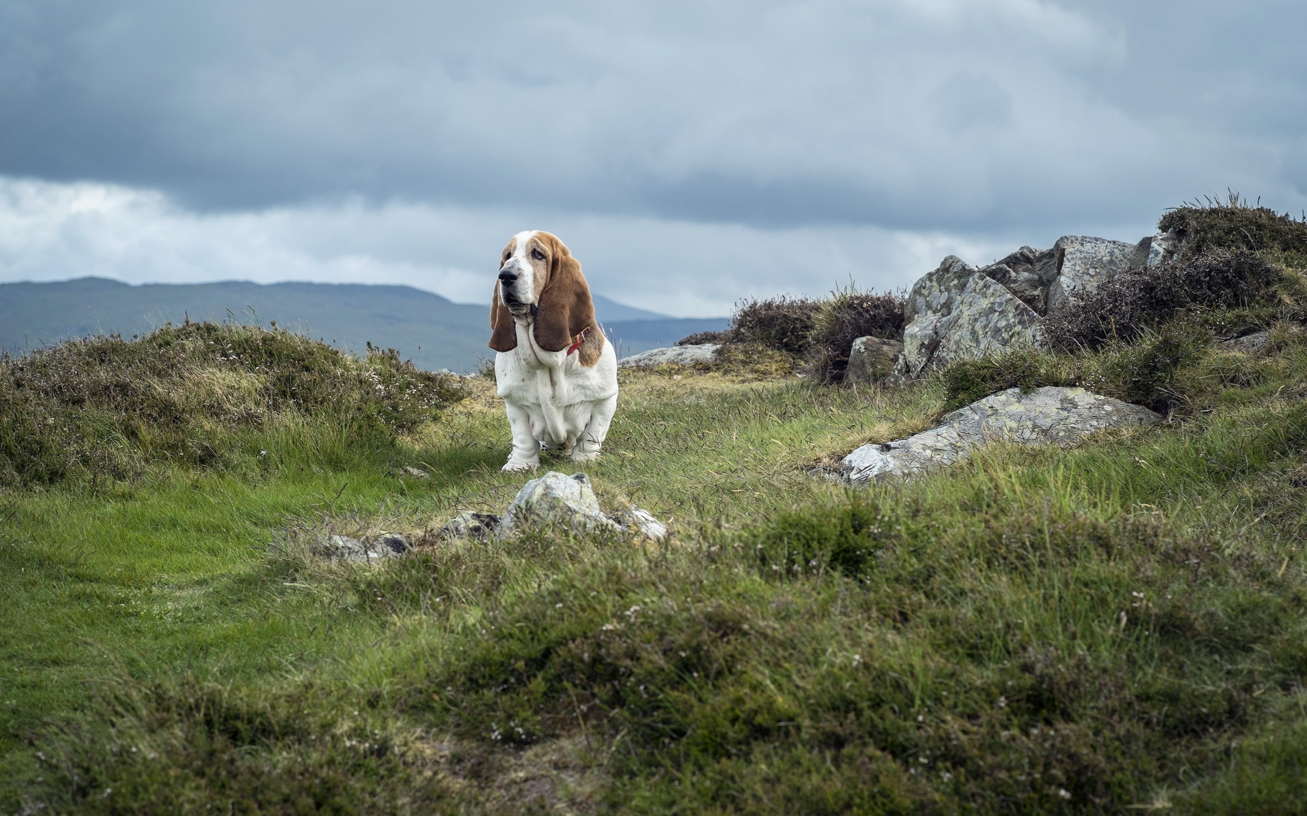 2560x1600 free wallpaper and screensavers for basset hound