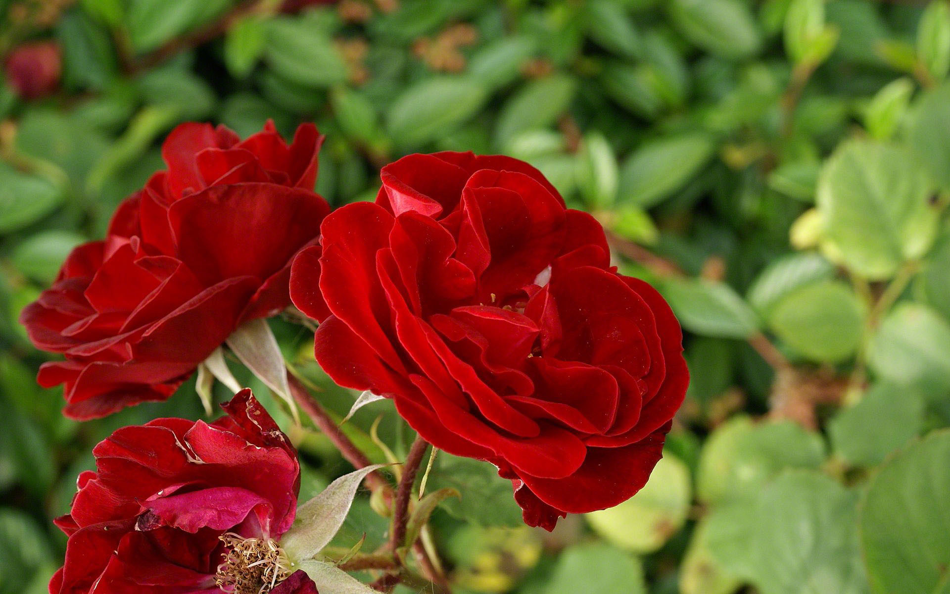 Red Rose Wallpapers Pictures Images: Rose Flower Images Wallpapers (55+ Images