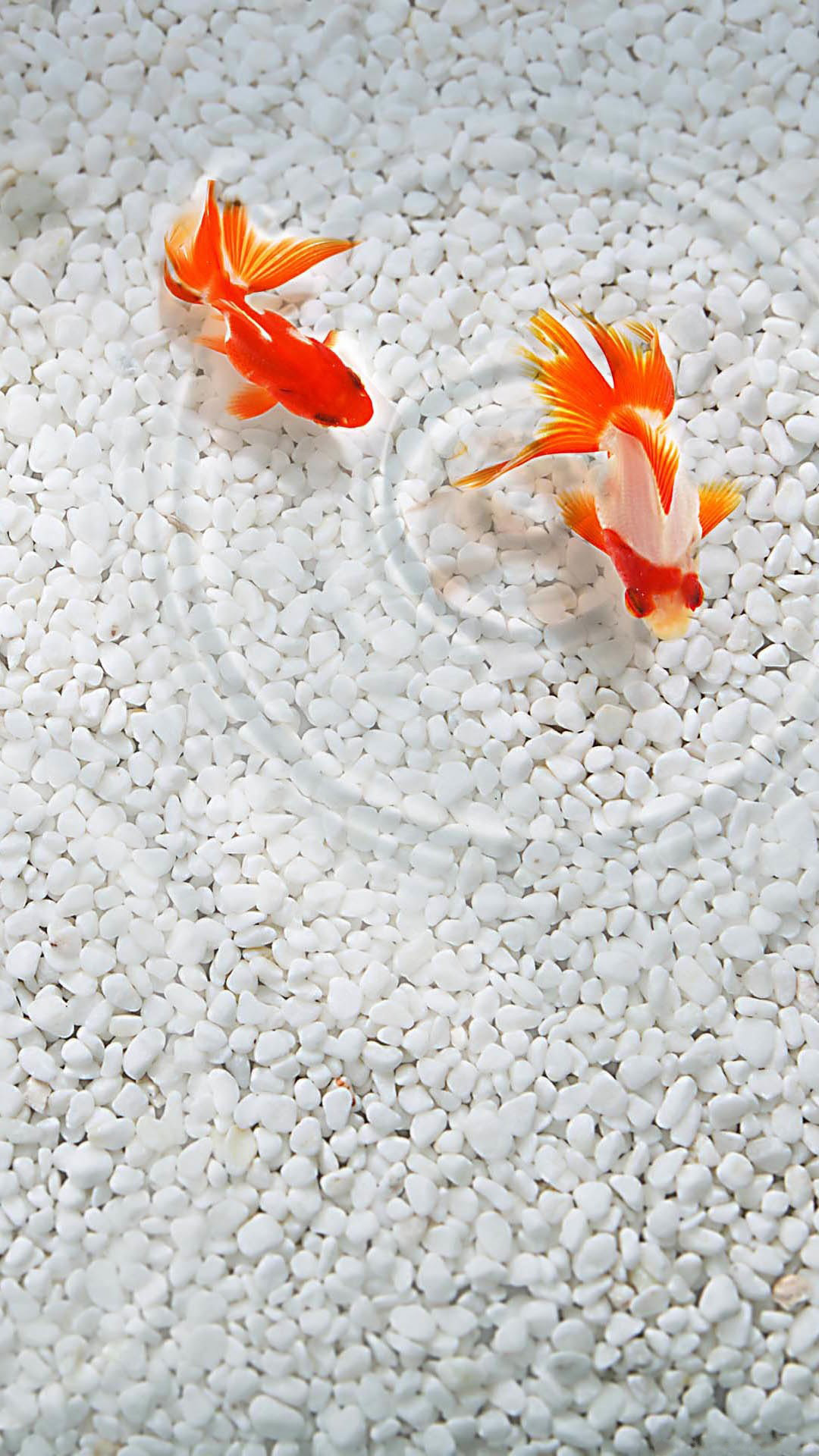 1080x1920 Orange Coy Fish White Sand Android Wallpaper ...