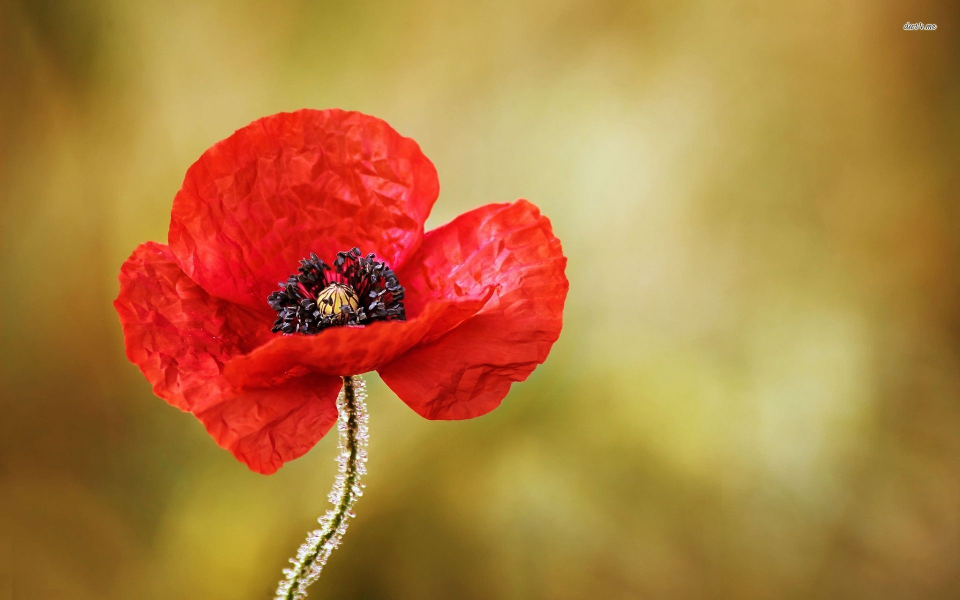 1920x1200 ... Frozen red poppy wallpaper  ...