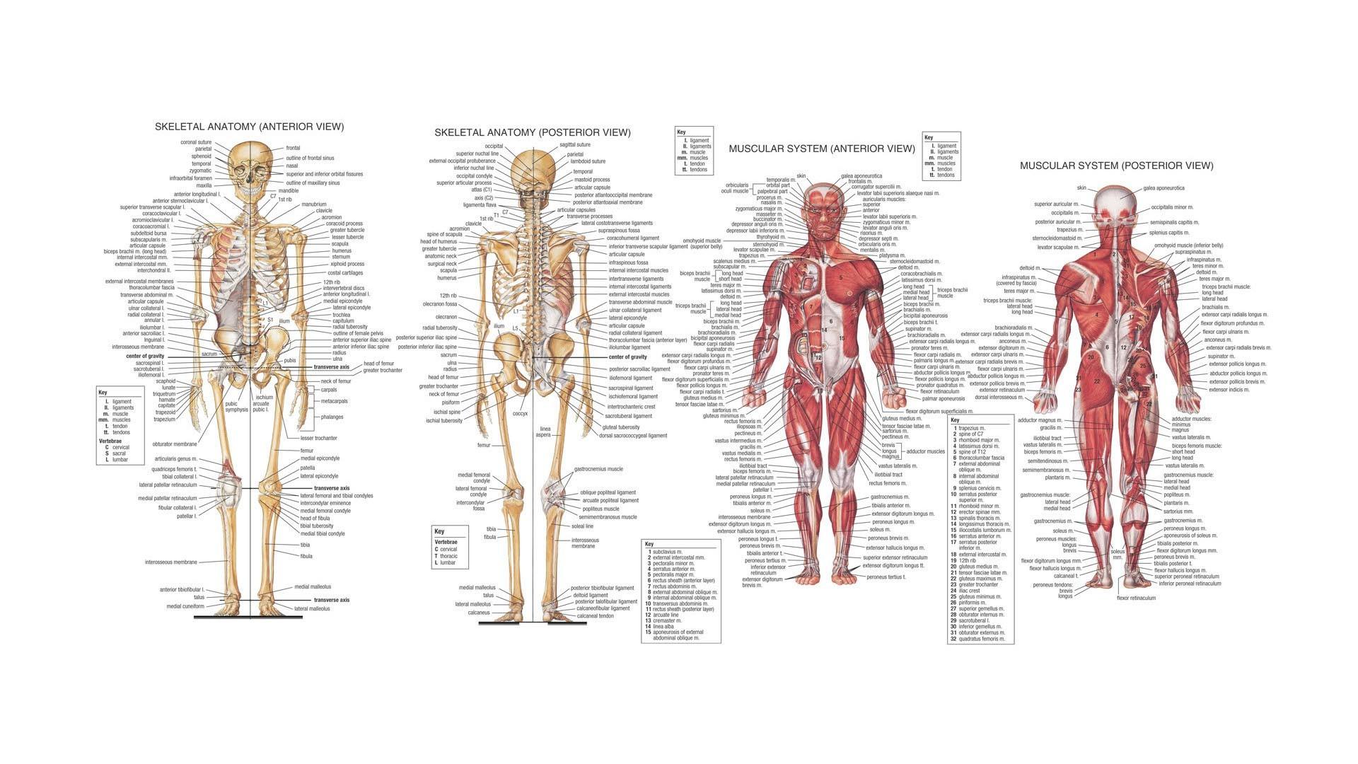 Human Anatomy Wallpaper 54 Images