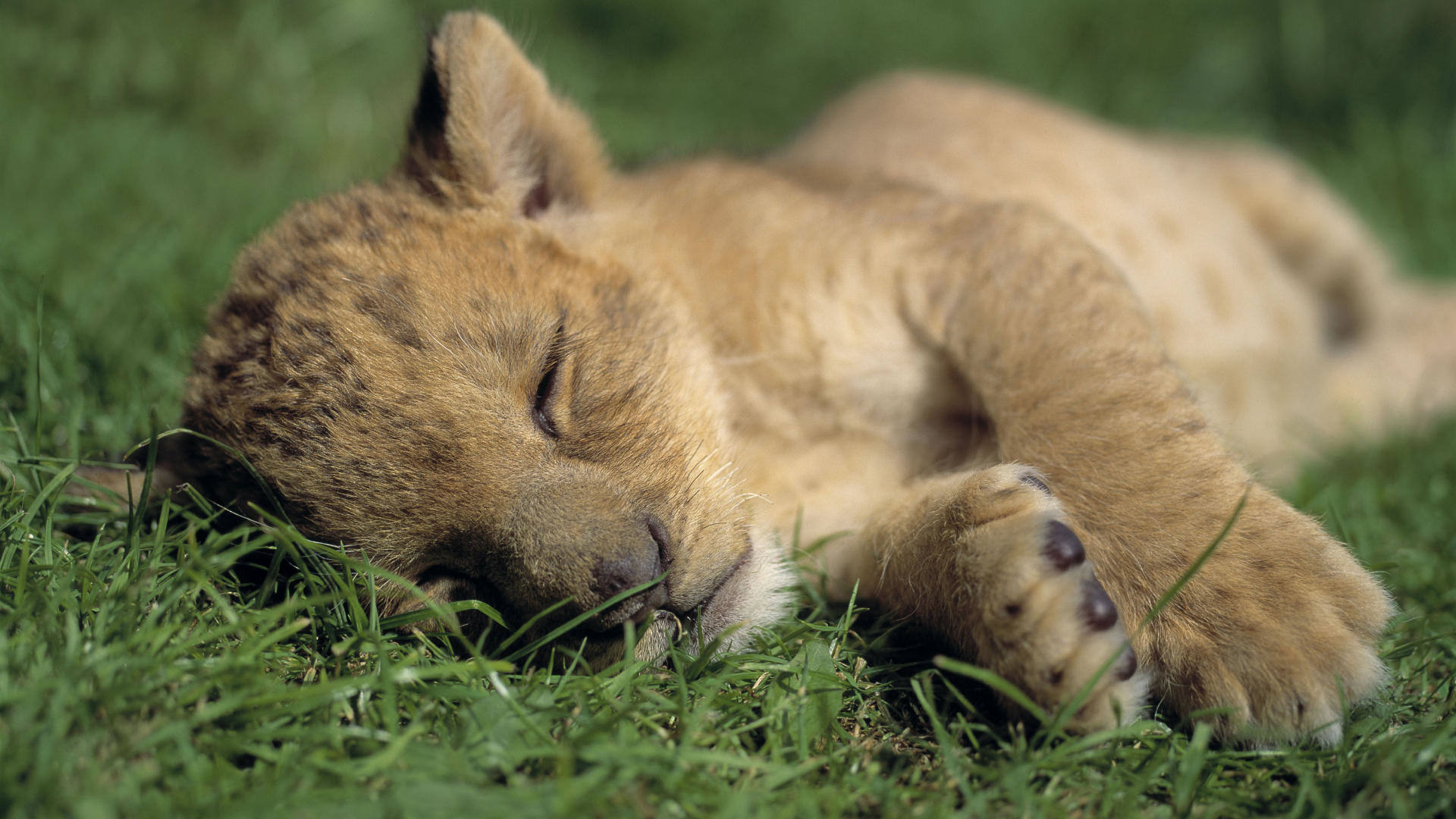 1920x1080 lion cub wallpaper cute. Â«Â«