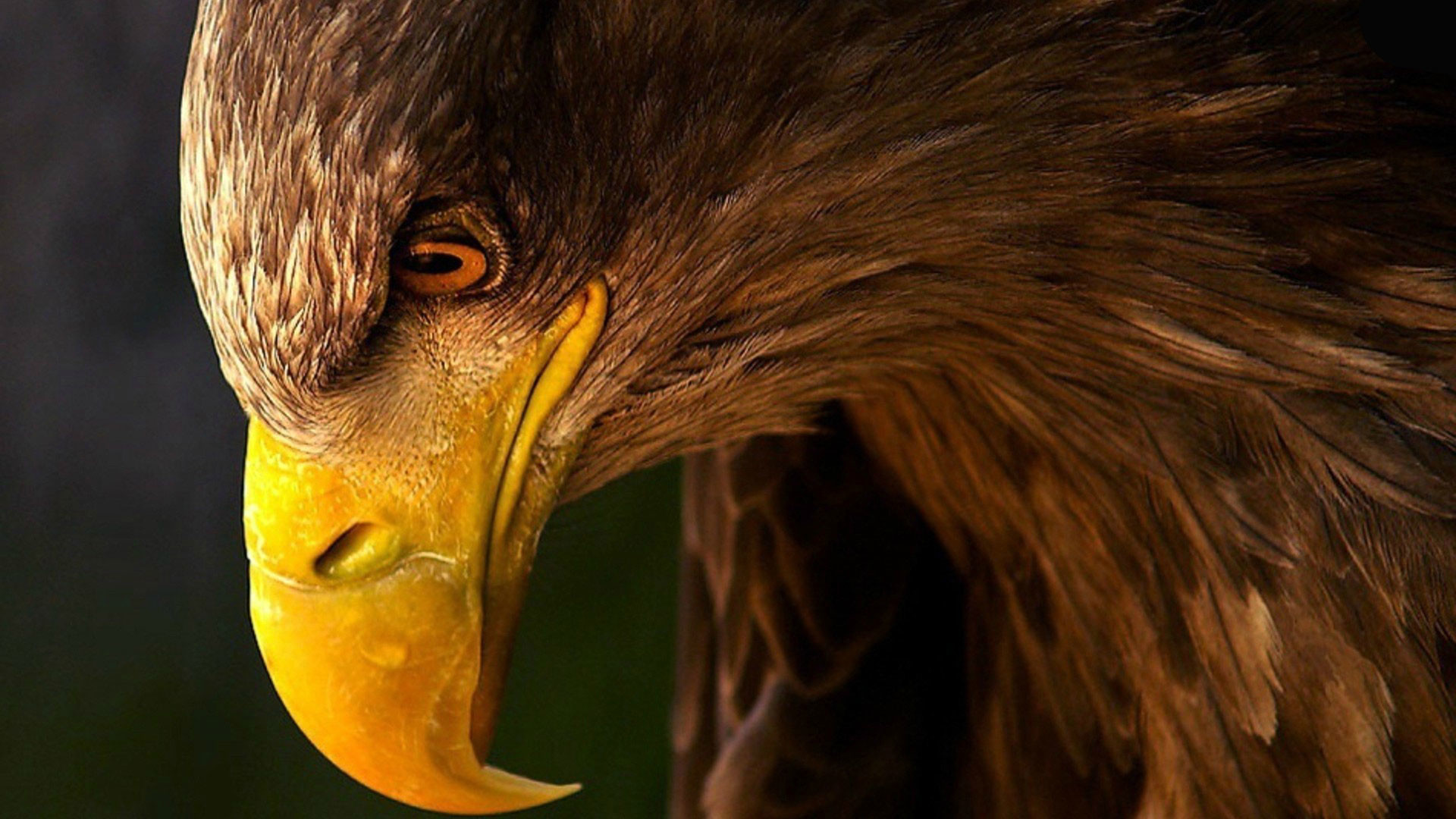1920x1080 Golden Eagle wallpaper high definition