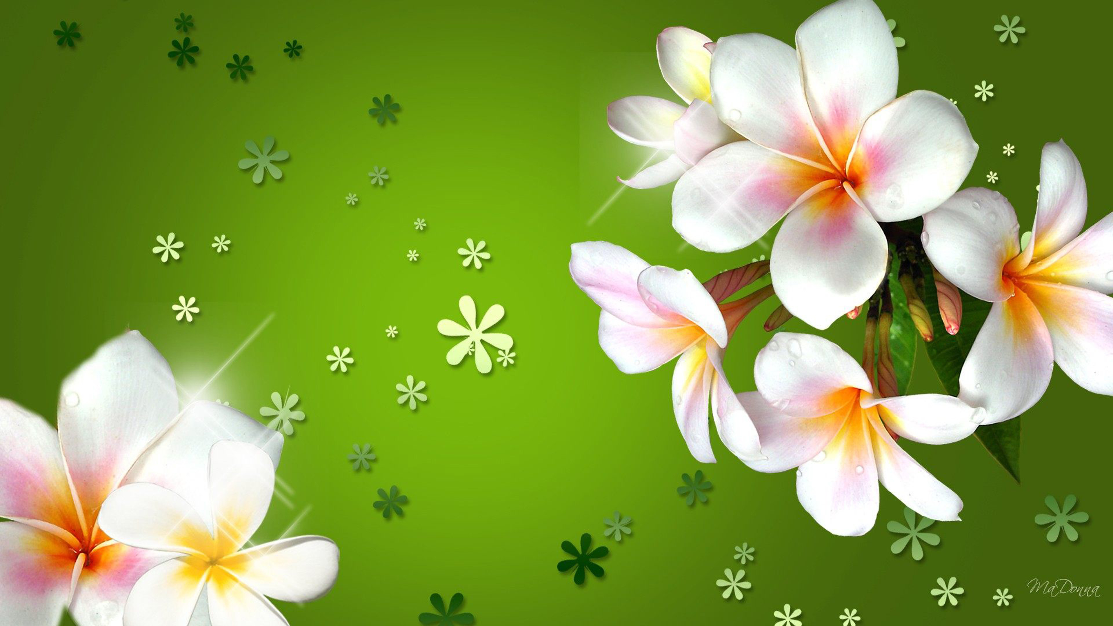 3840x2160 Plumeria Three Colored Flowers With Bright Green .