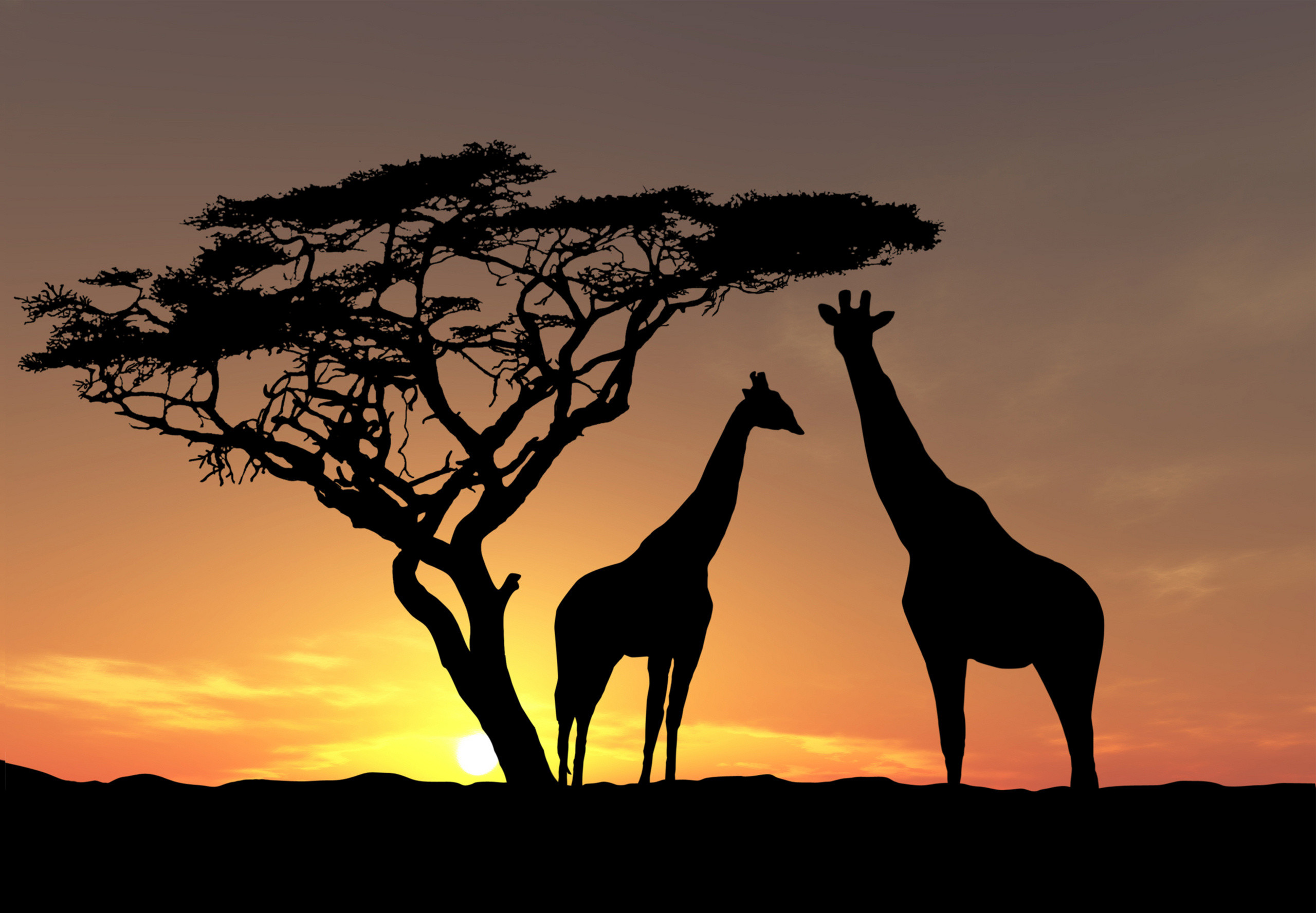 2560x1777 giraffe sunset giraffe sunset giraffe sunset giraffe sunset giraffe sunset  wallpaper ...