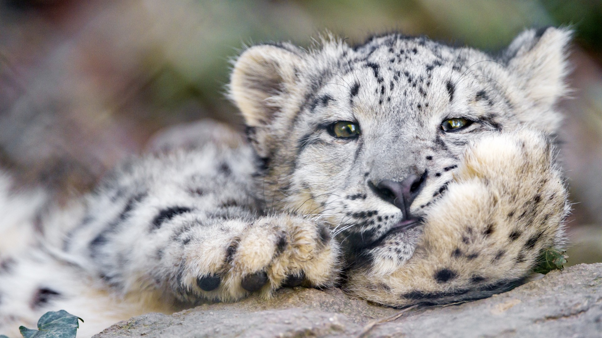 1920x1080 Preview wallpaper snow leopard, big cat, leopard