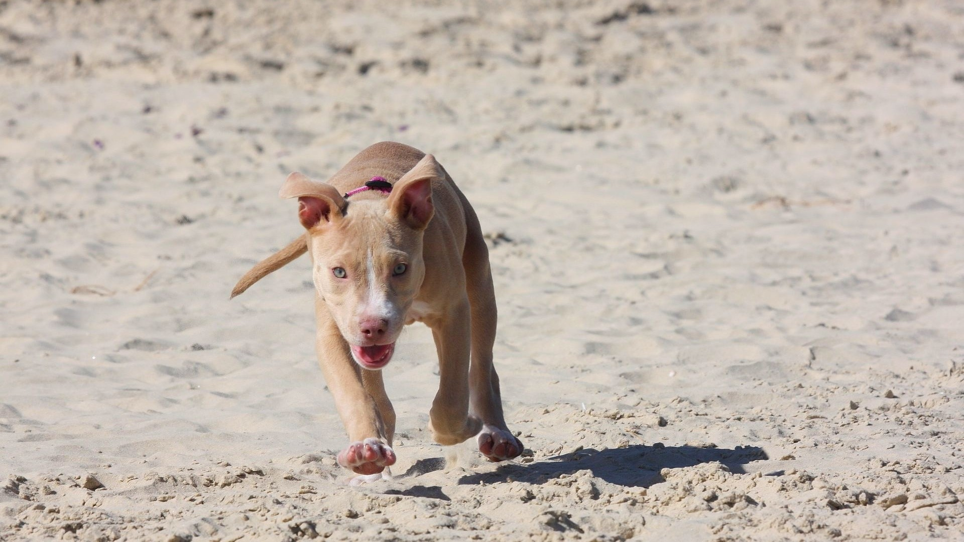1920x1080 Preview wallpaper pitbull, puppy, dog, sand, run